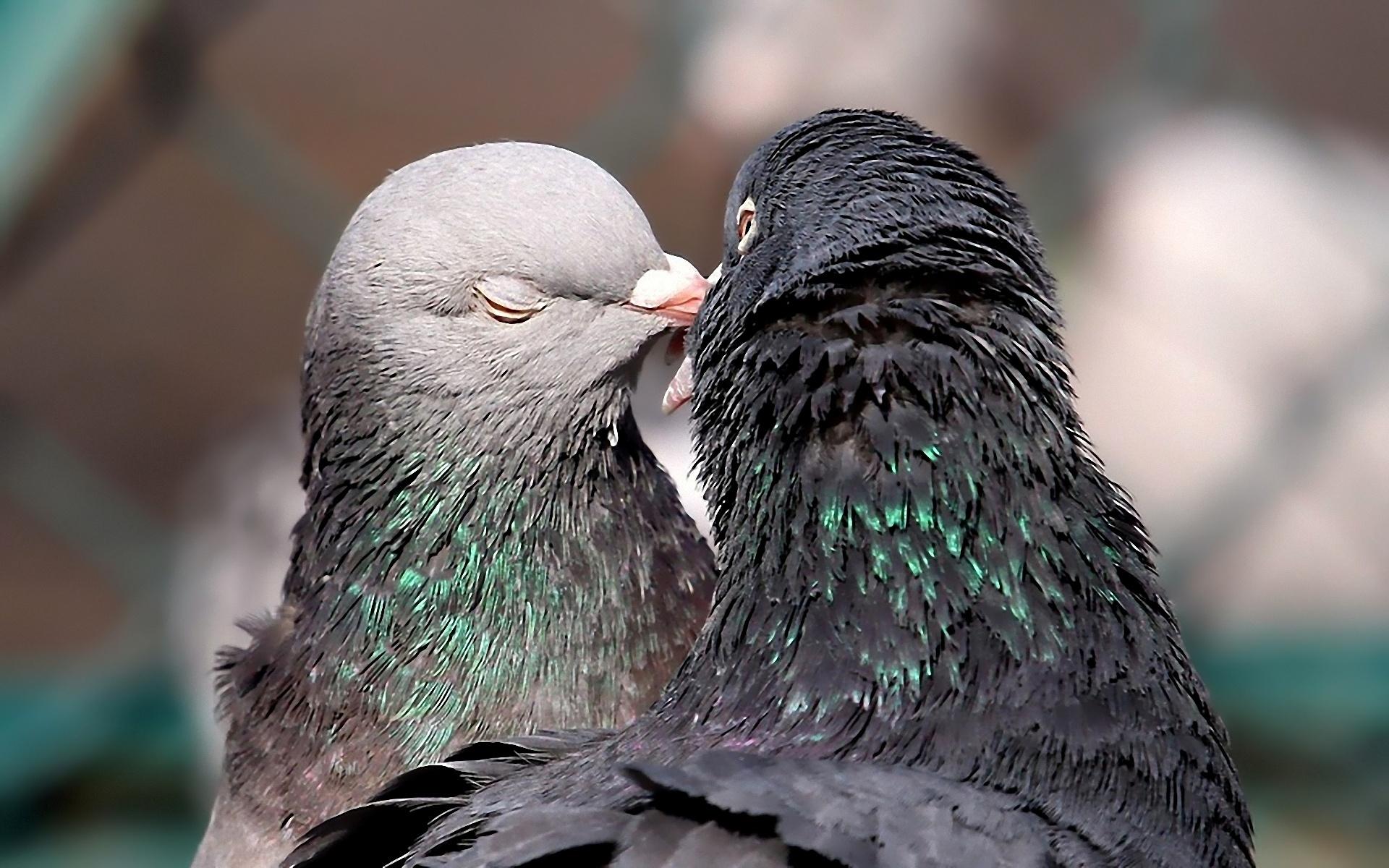 фото при голуби любви фото разработке новых интересных
