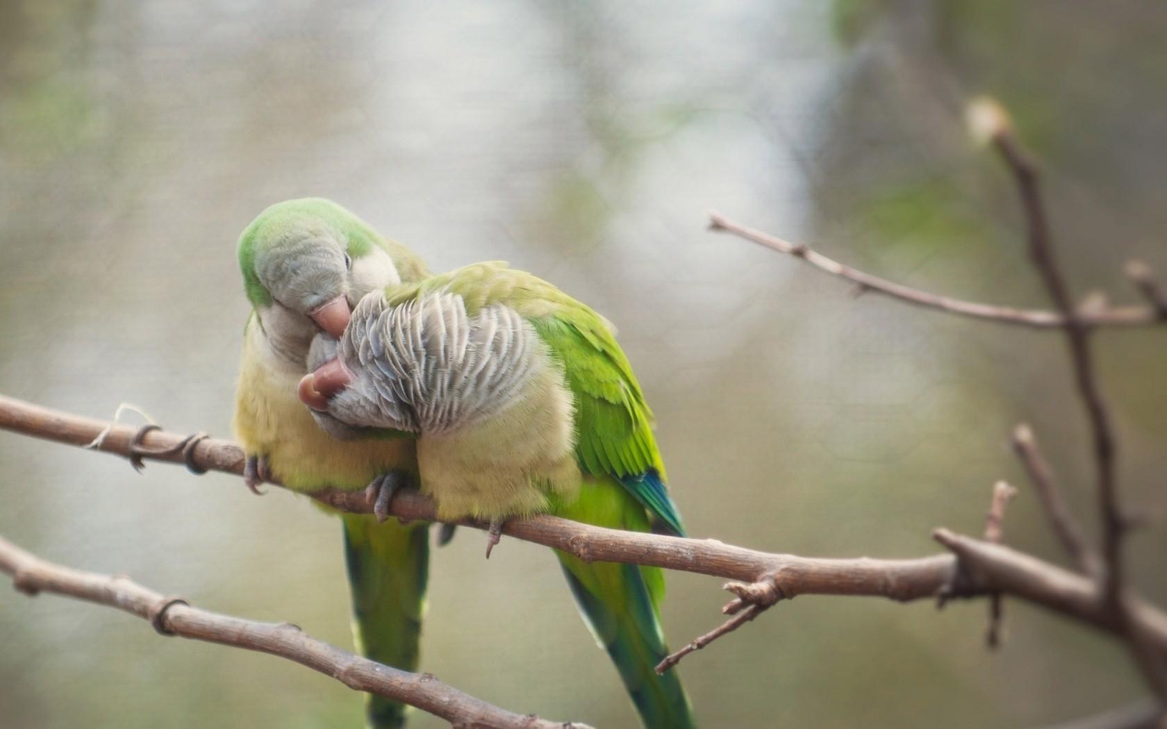41 Koleksi Gambar Hewan Burung Lovebird HD Terbaik