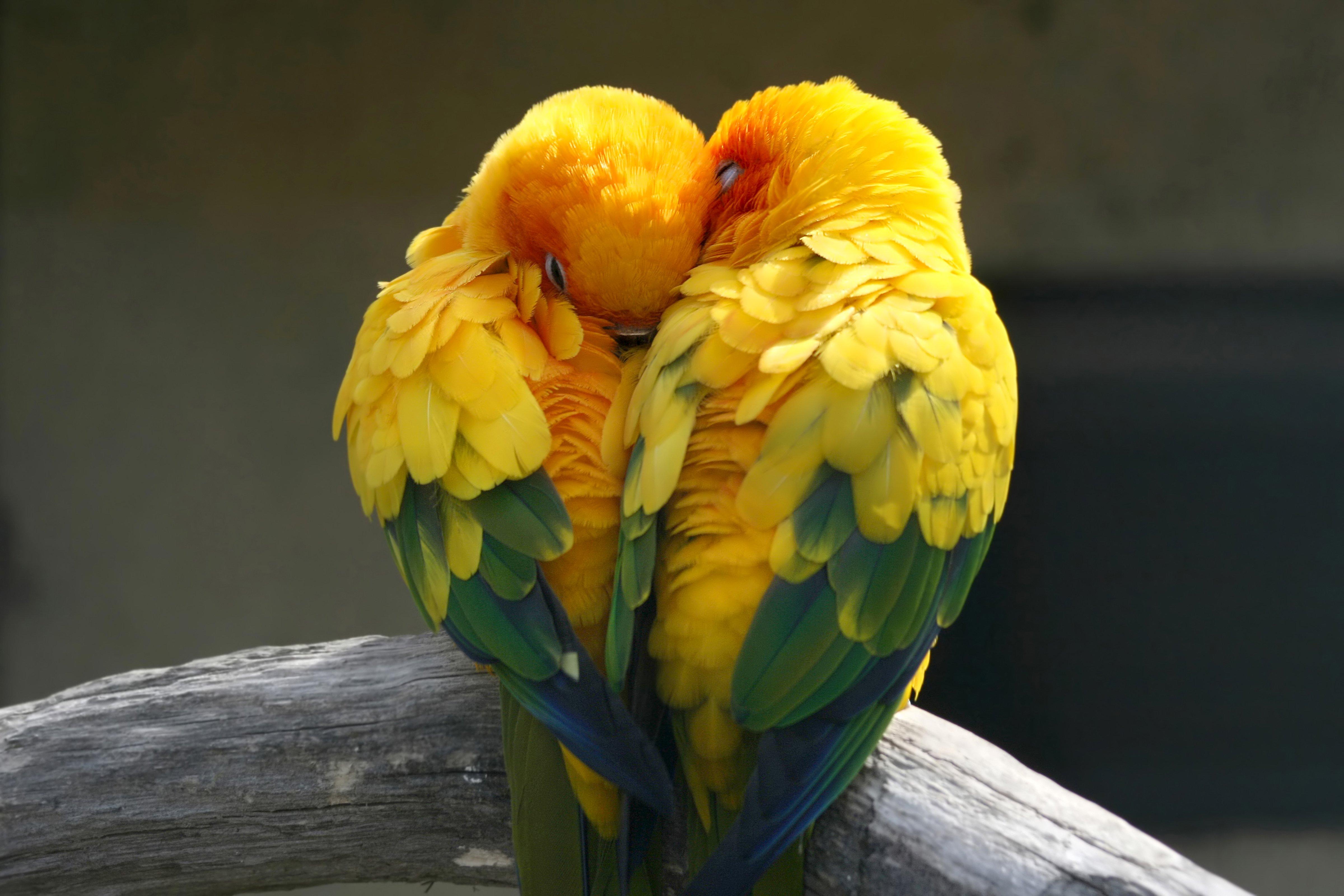 Download Wallpaper Love Parrot - birds-parrot-love-tropical-1226738  Picture_999927.jpg