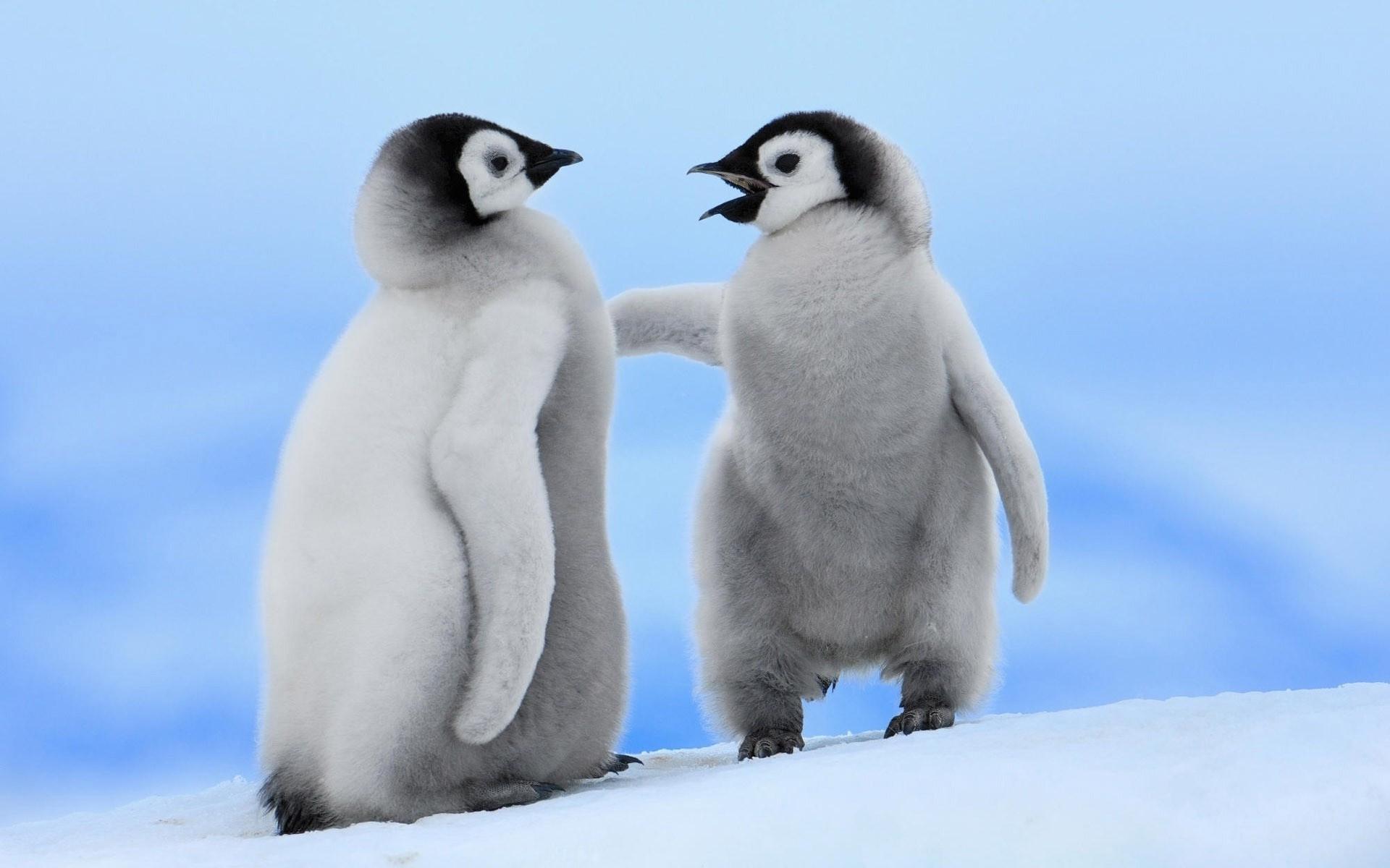 wallpaper birds penguins baby animals penguin beak wing