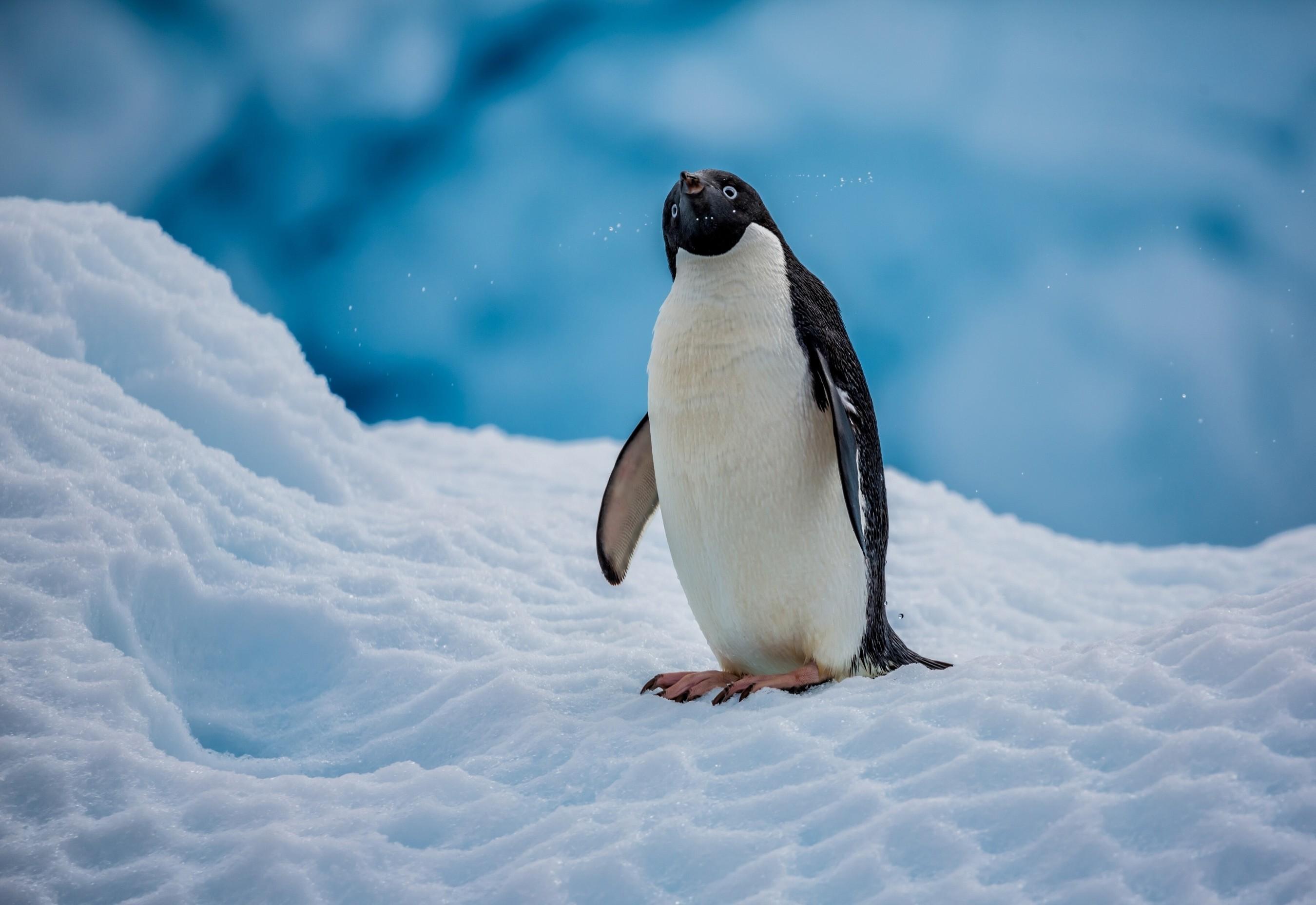 デスクトップ壁紙 ペンギン 自然 雪 冬 氷 北極 嘴 翼 動物