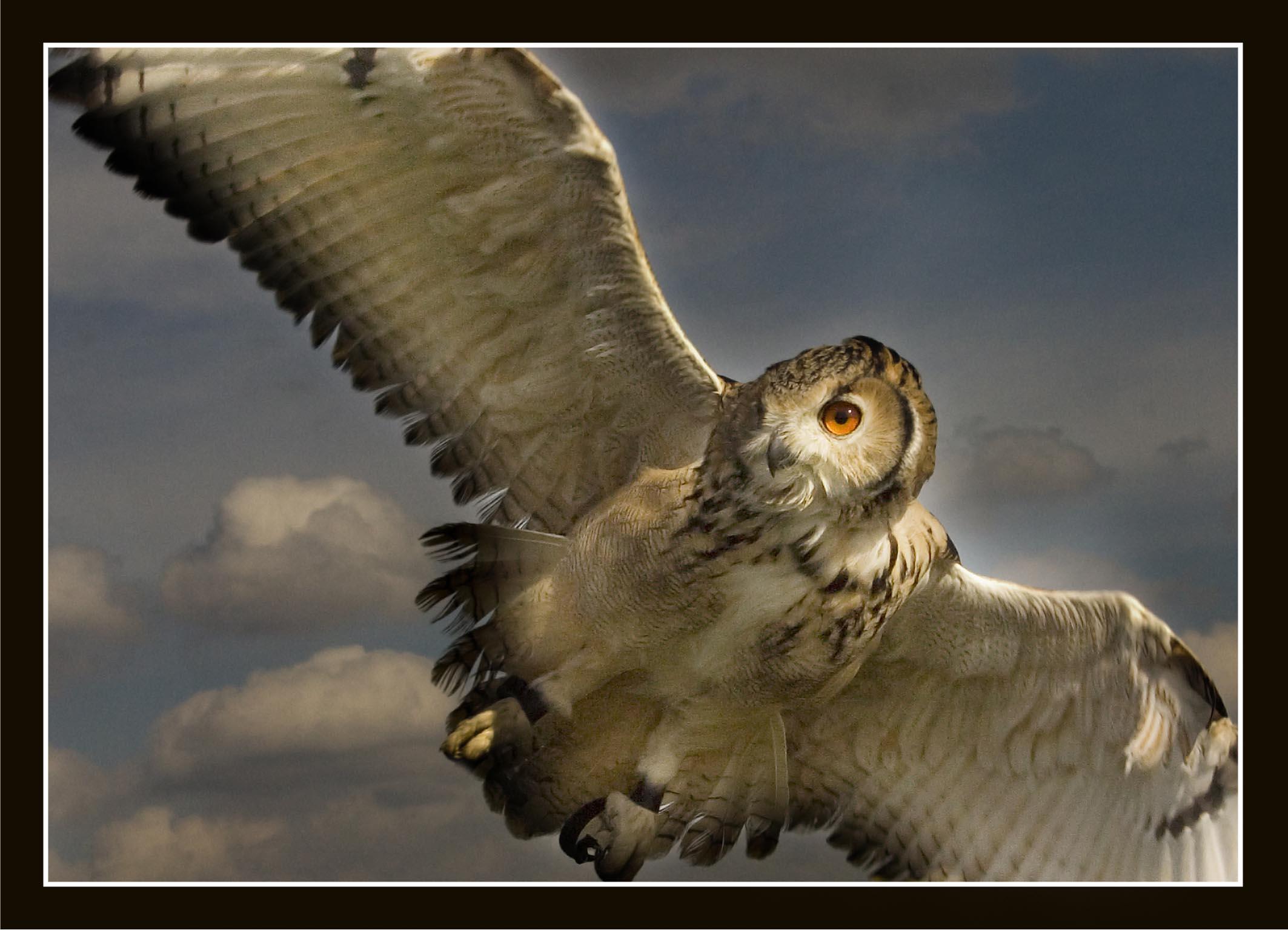 Kumpulan Koleksi Wallpaper Burung Hantu Gratis Terbaru