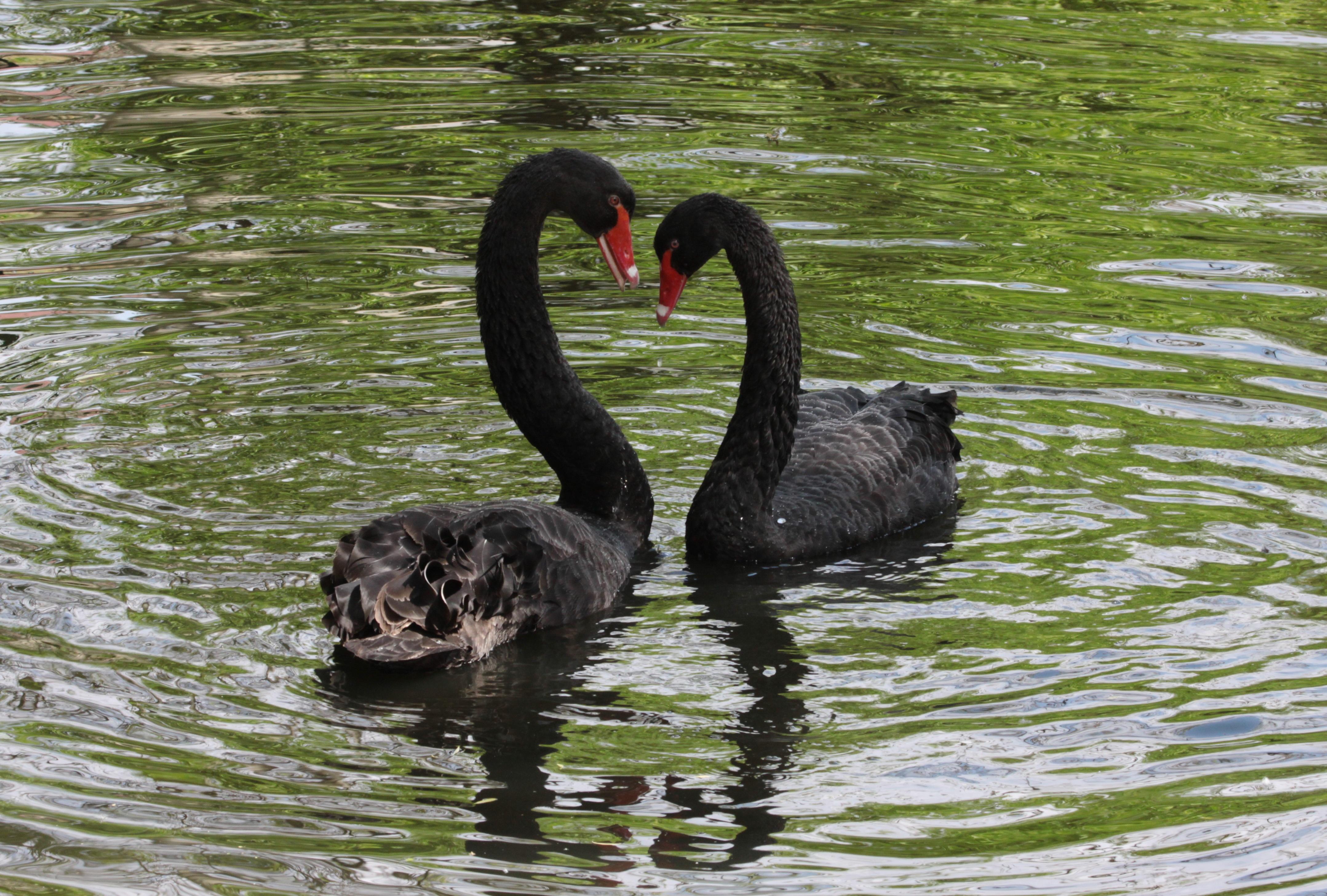 съемка черные лебеди фото красивые уже тогда была