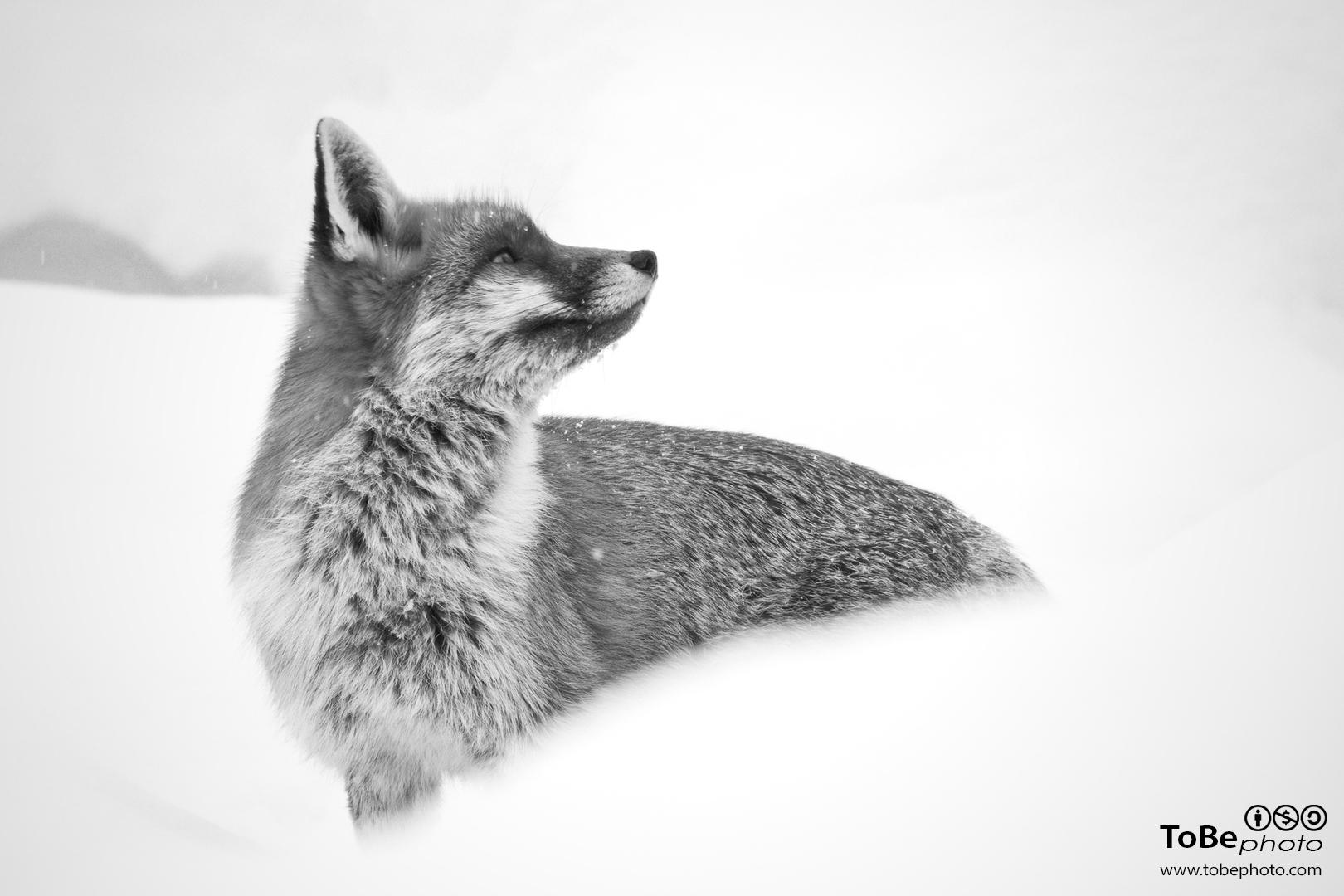 Sfondi Bianco E Nero Natura Fotografia In Bianco E Nero Volpe