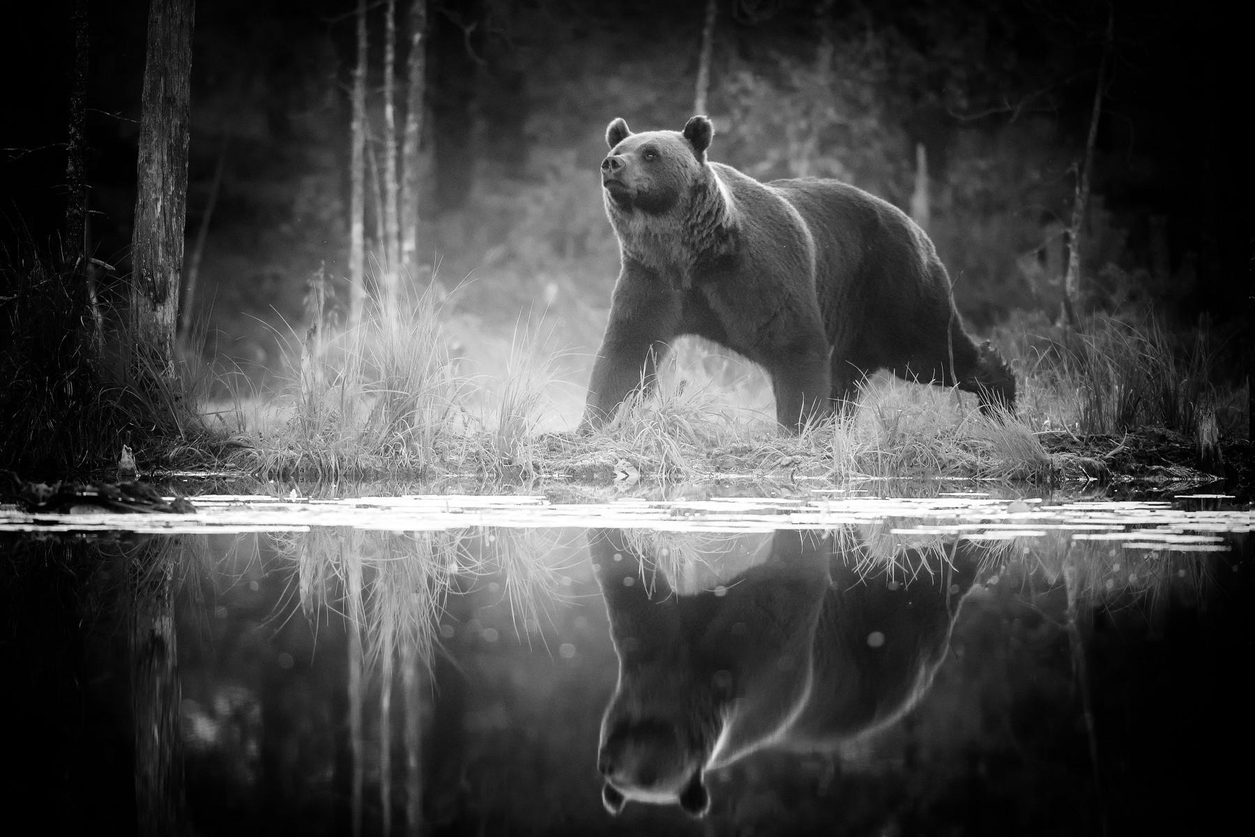 680 Gambar Hewan Beruang Hitam Putih HD Terbaik