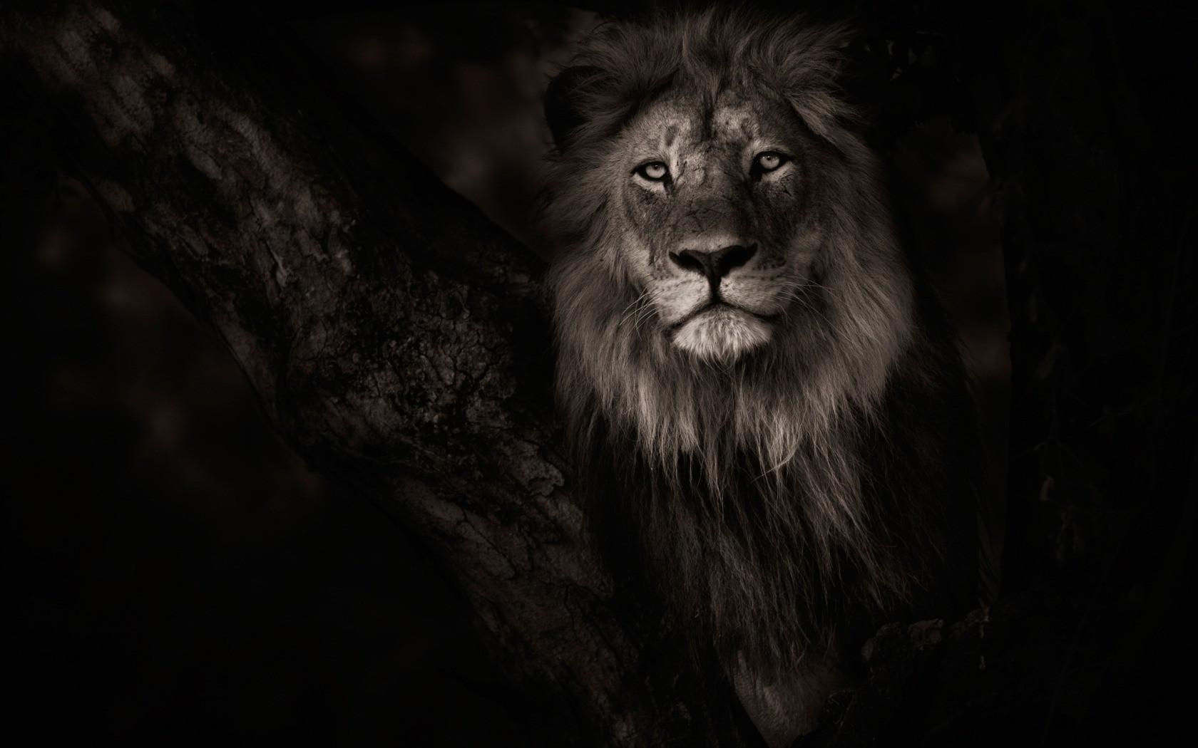 Hintergrundbilder Schwarz Tiere Einfarbig Fotografie Löwe