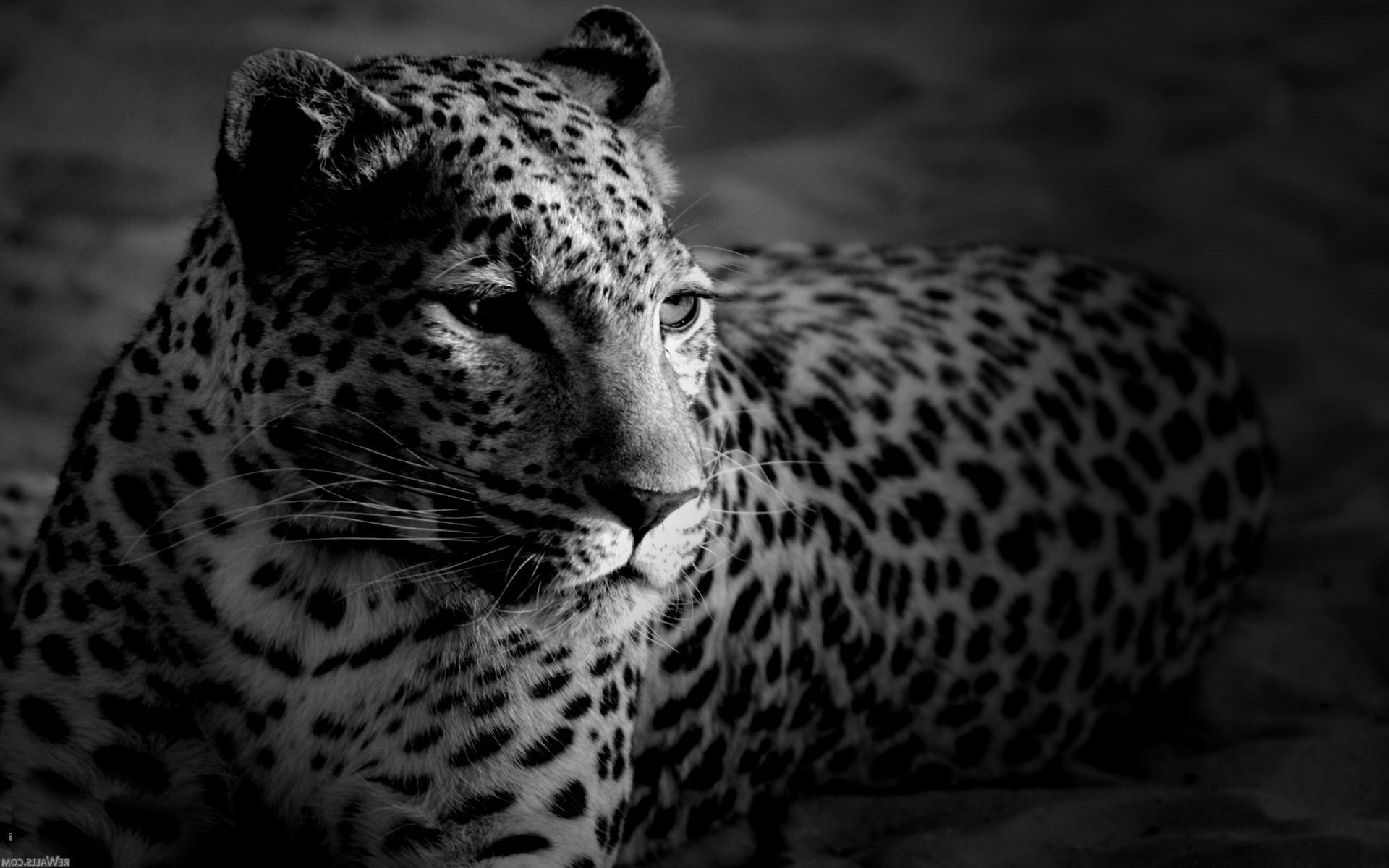 Big cats whiskers jaguar cheetah cheetahs jaguars snow leopard fauna 1920x1200 px computer wallpaper black and white monochrome photography