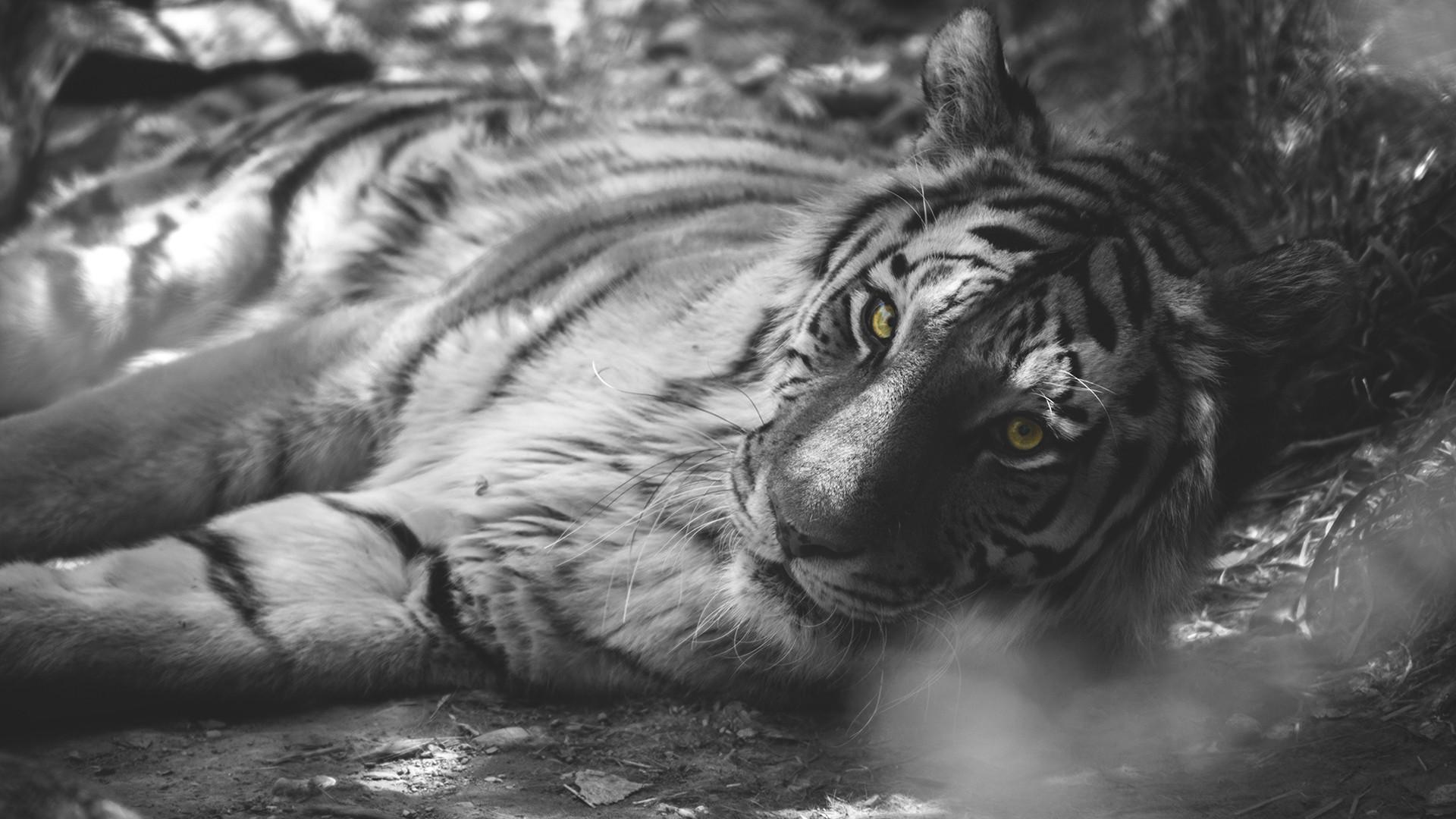 Wallpaper Hewan Satu Warna Harimau Mewarnai Selektif