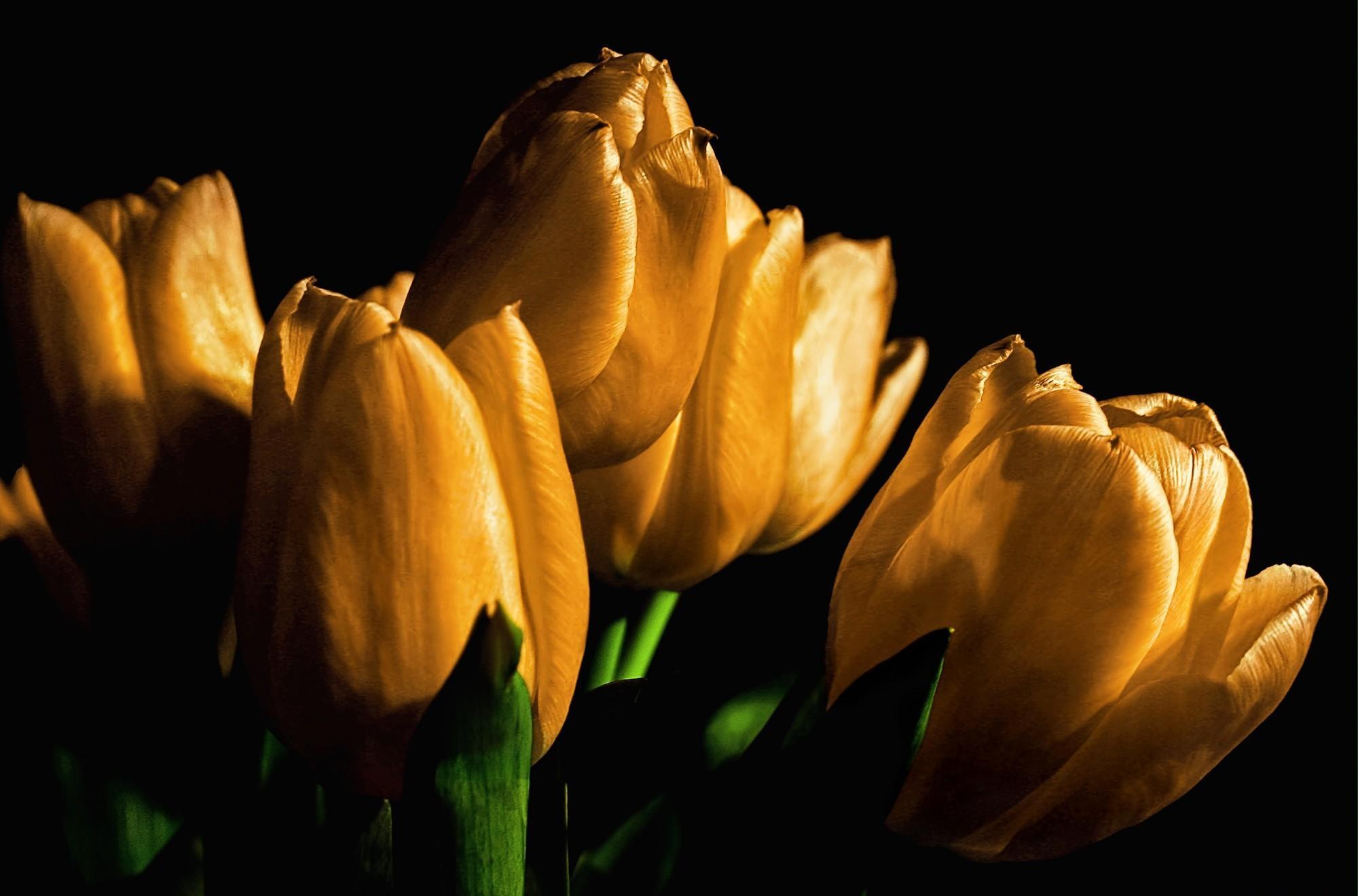 Sfondo tulipani gialli gratis