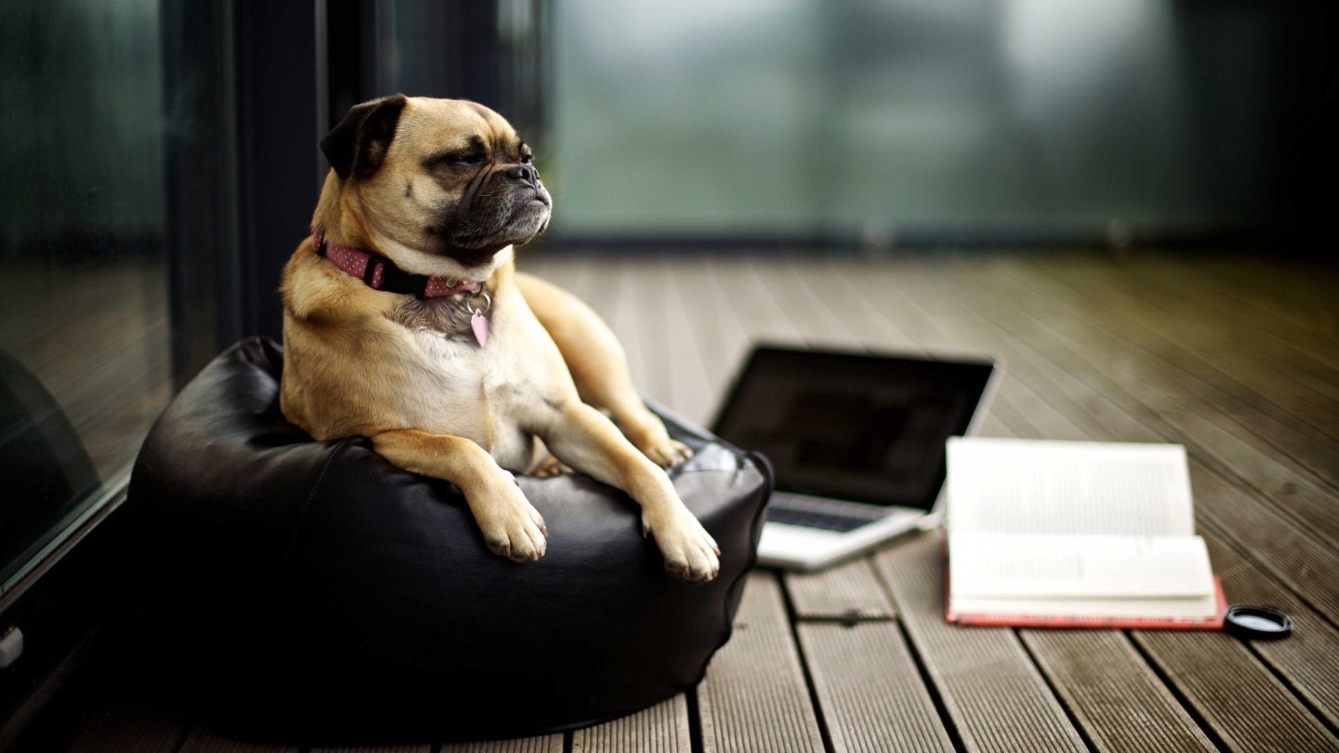 Black Books Dog Laptop Mac Book Pug Puppy Mammal 1920x1080 Px Human Positions Like