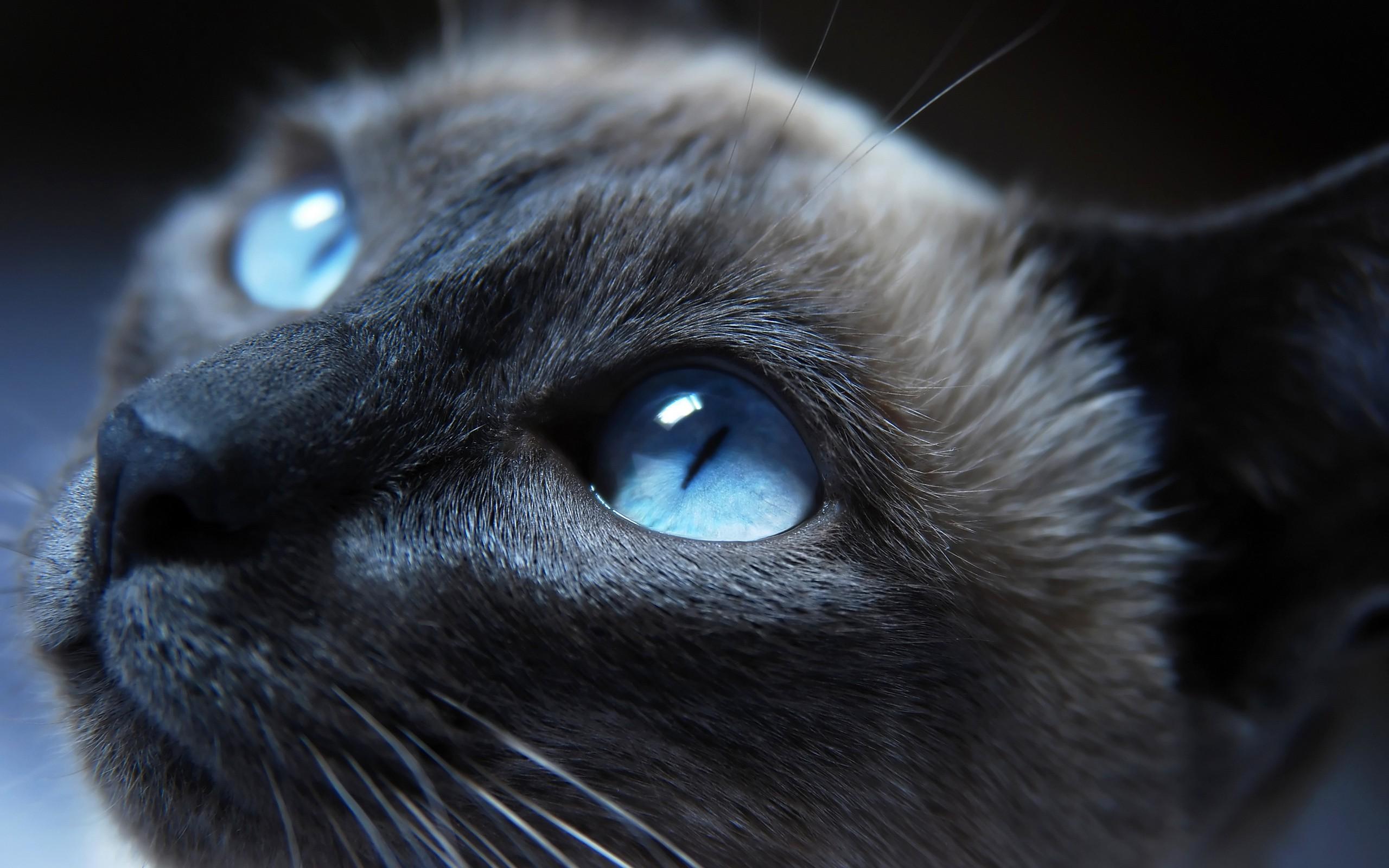 Fond d\u0027écran  chat, animaux, Monochrome, yeux bleus, bleu, nez,  moustaches, Chat noir, Chats siamois, œil, chaton, 2560x1600 px, vertébré,  organe, fermer,