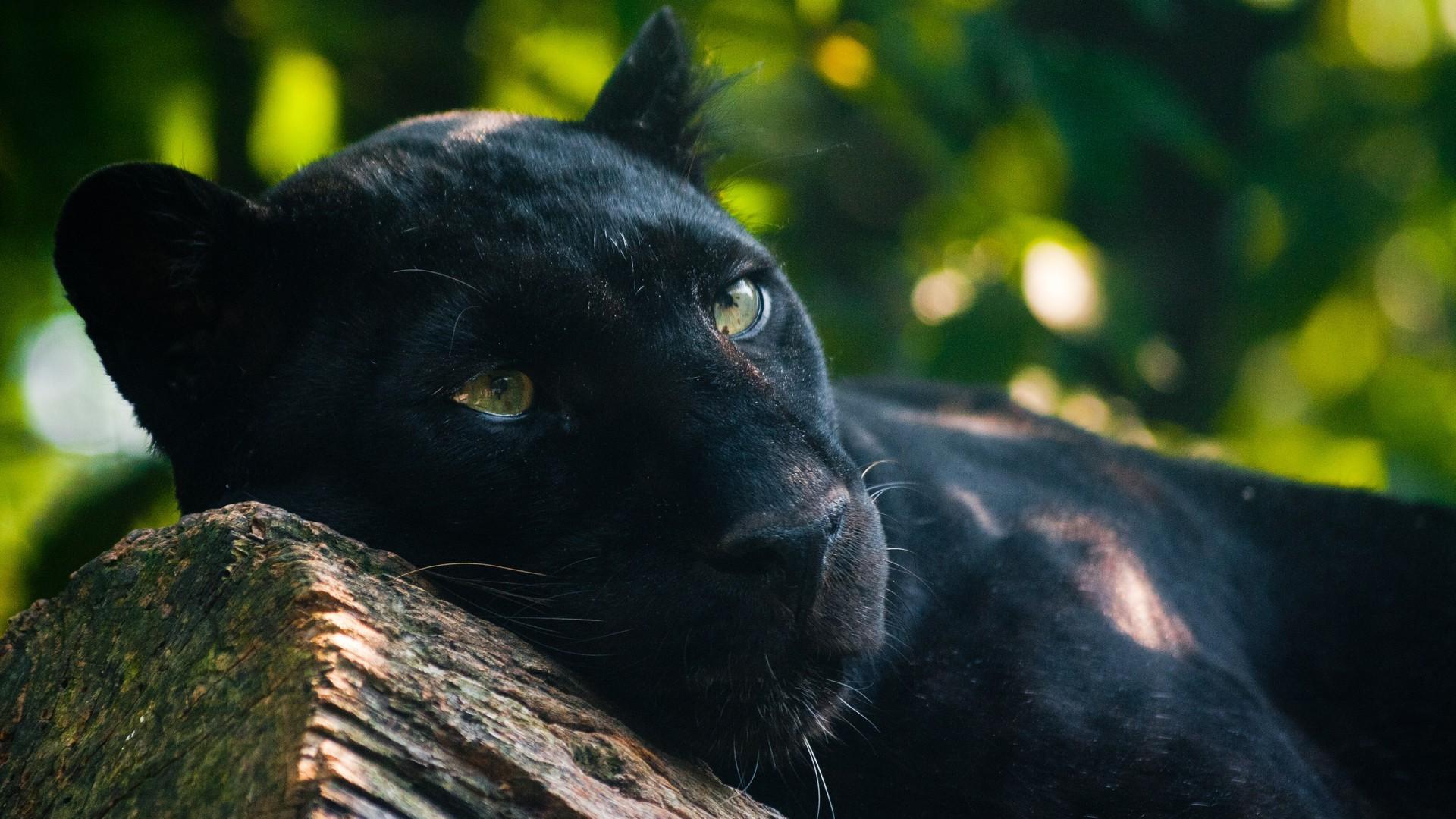 Stor sort katte