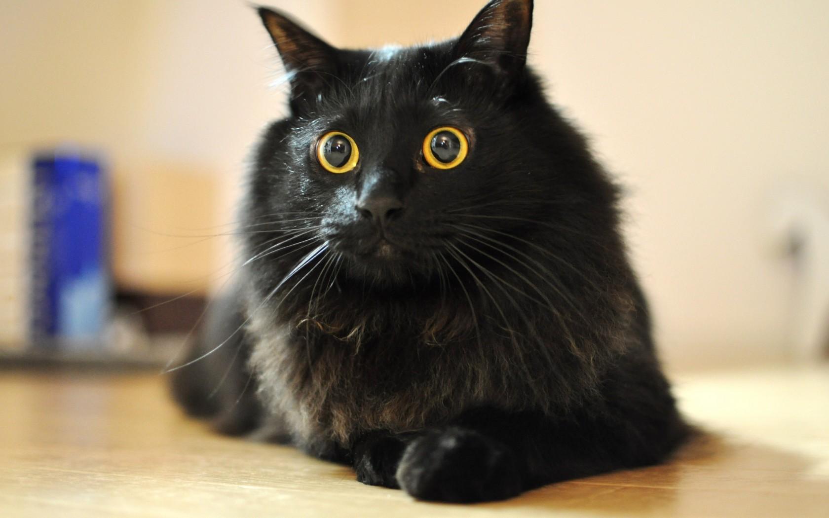 černá kočička černákapající mokré oholené kočička
