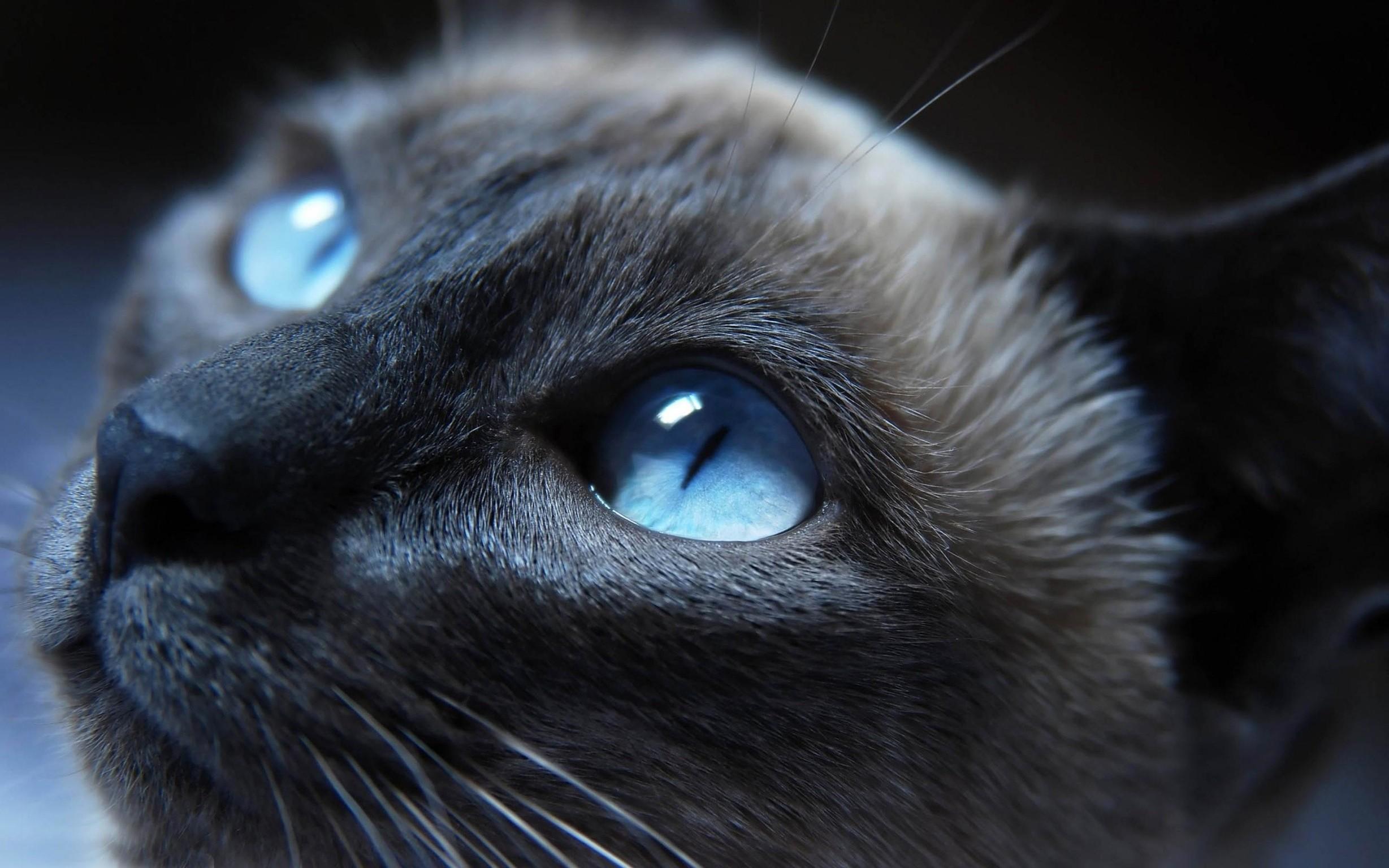 Wallpaper Black Blue Eyes Nose Whiskers Russian Blue Black