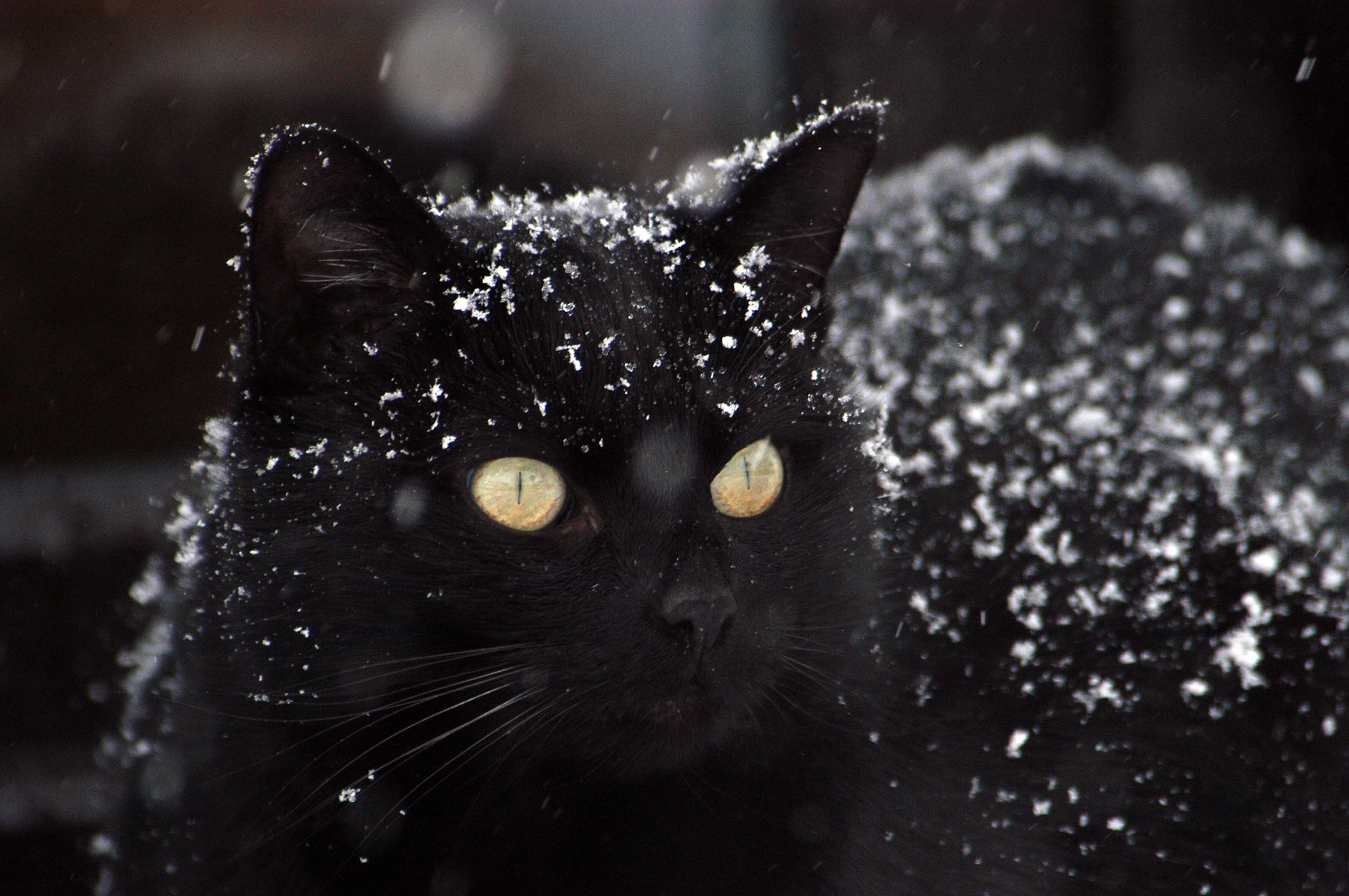 картинка черная кошка в снегу уже позаботились