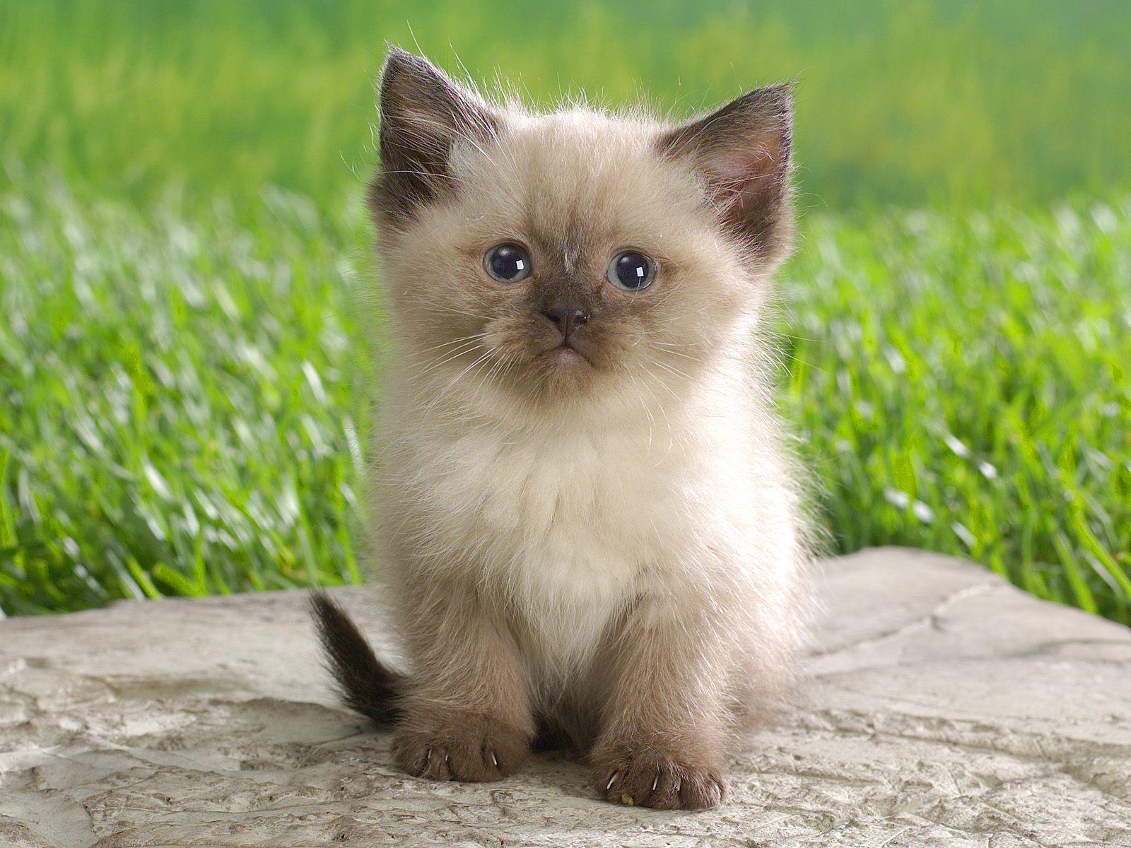 сейчас нижнем фото кумедного кошеняти манишки