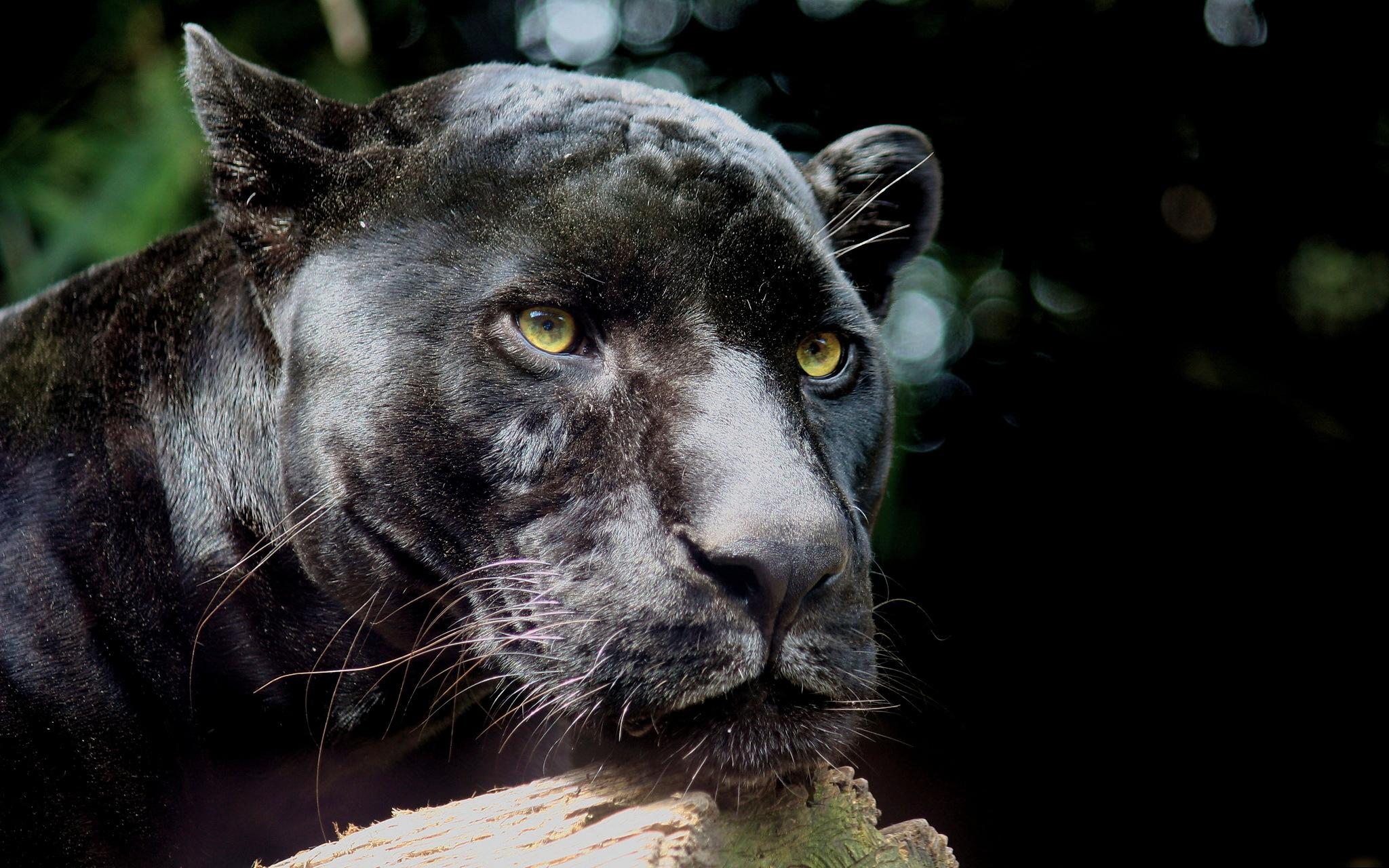 Wallpaper Black Lion Wildlife Big Cats Whiskers Black