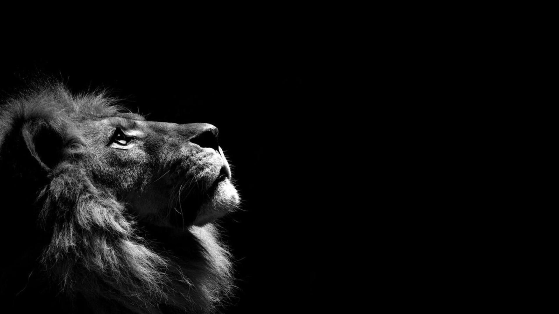 Fond d'écran : Monochrome, Lion, obscurité, mammifère, 1920x1080 px, noir et blanc, Photographie ...