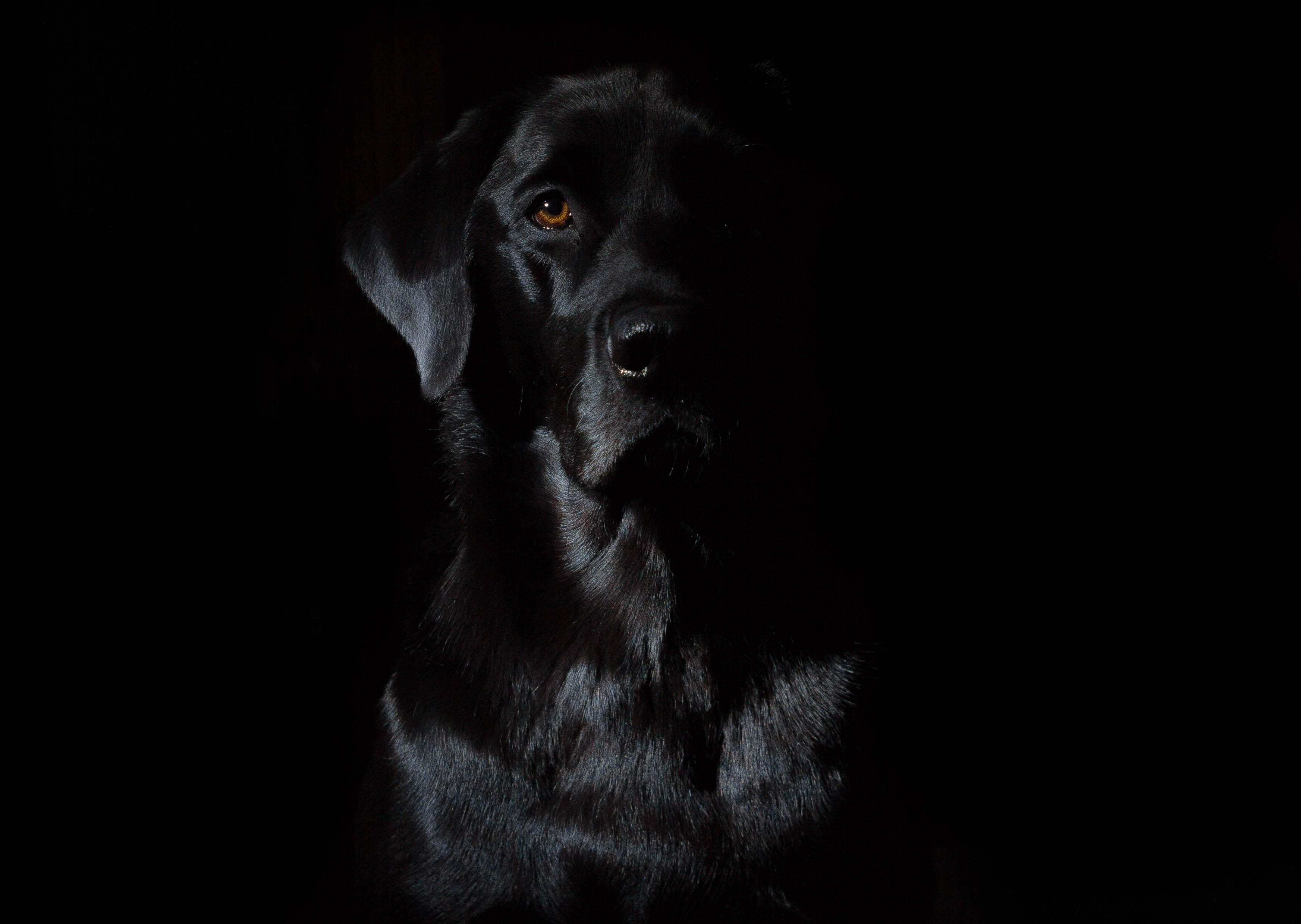 Wallpaper : camera, Canon, whiskers, Flash, pet, Labrador ...