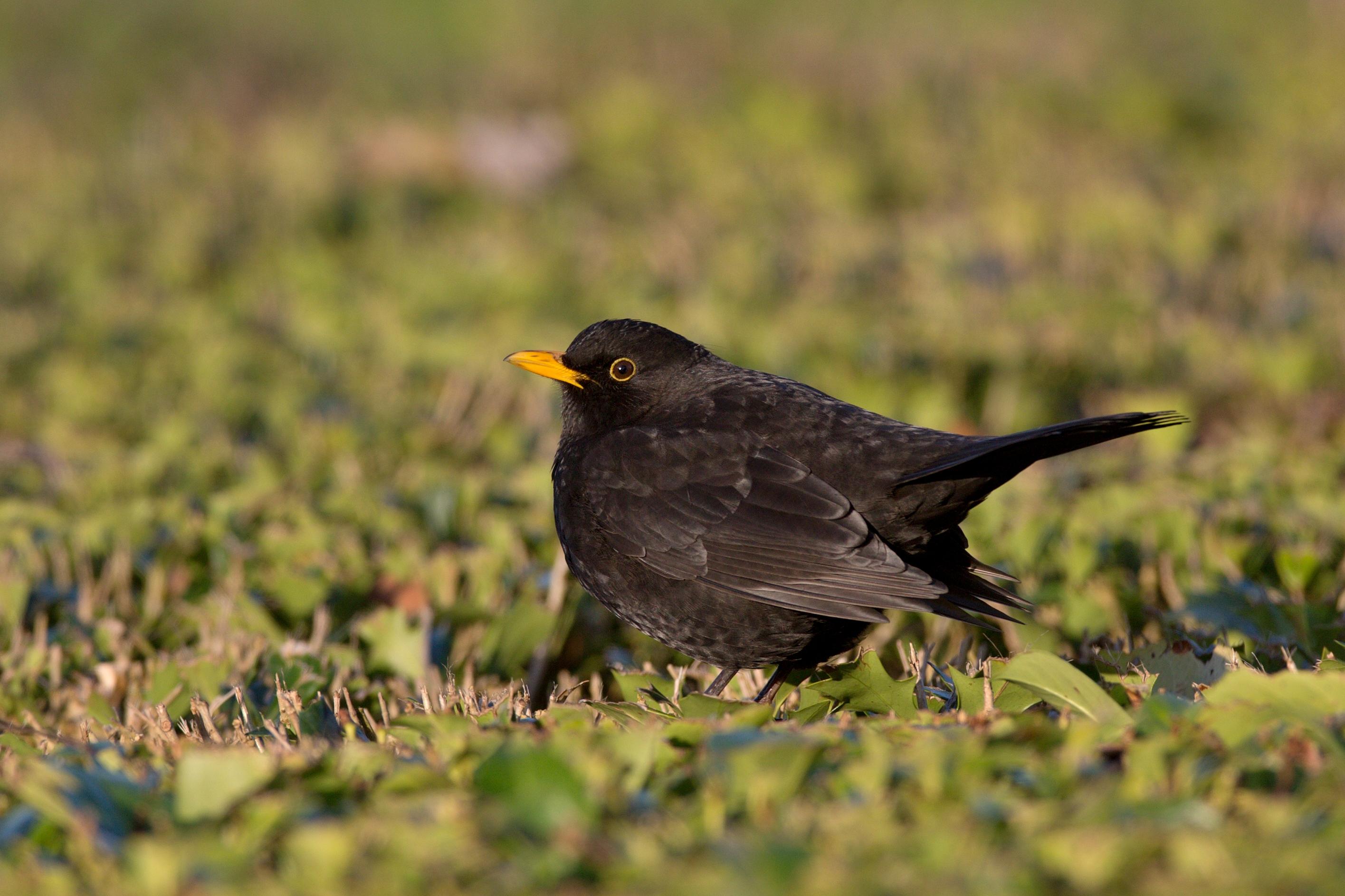 Fond d 39 cran noir la nature urbain vert jaune faune for Oiseau noir bec jaune