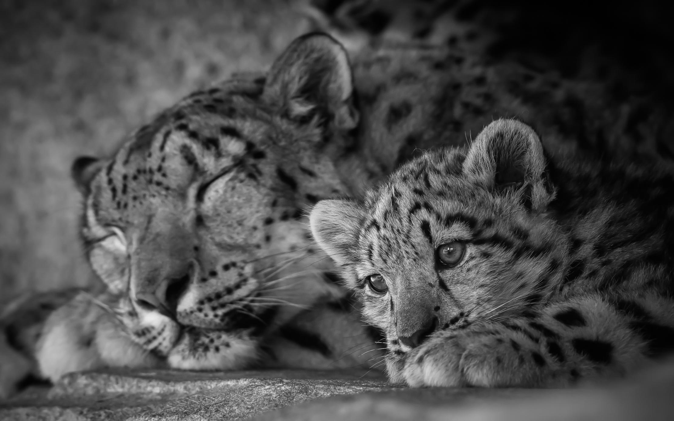 Wallpaper Blackandwhite Bw Monochrome Animal Animals Cat Cub
