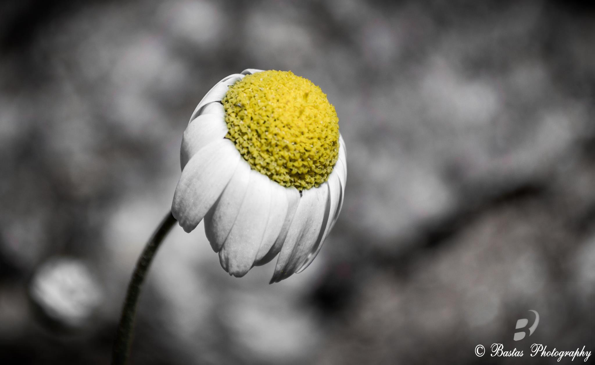 Blackandwhite White Flower Color Nature Beautiful Beauty Yellow Outside Island Nikon Europe Exposure Pretty Day Niceshot