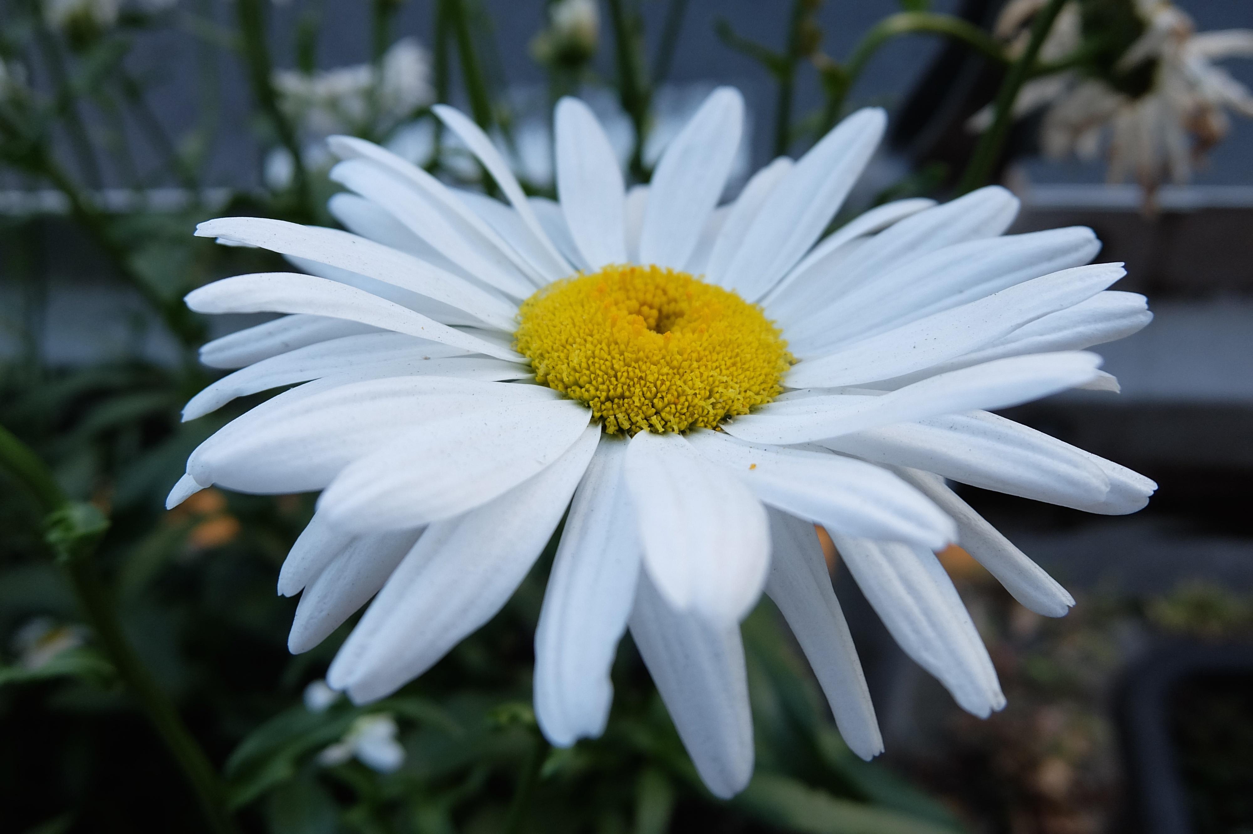 Sfondi fiorire tokyo fujifilm margherita fiore for Margherita pianta