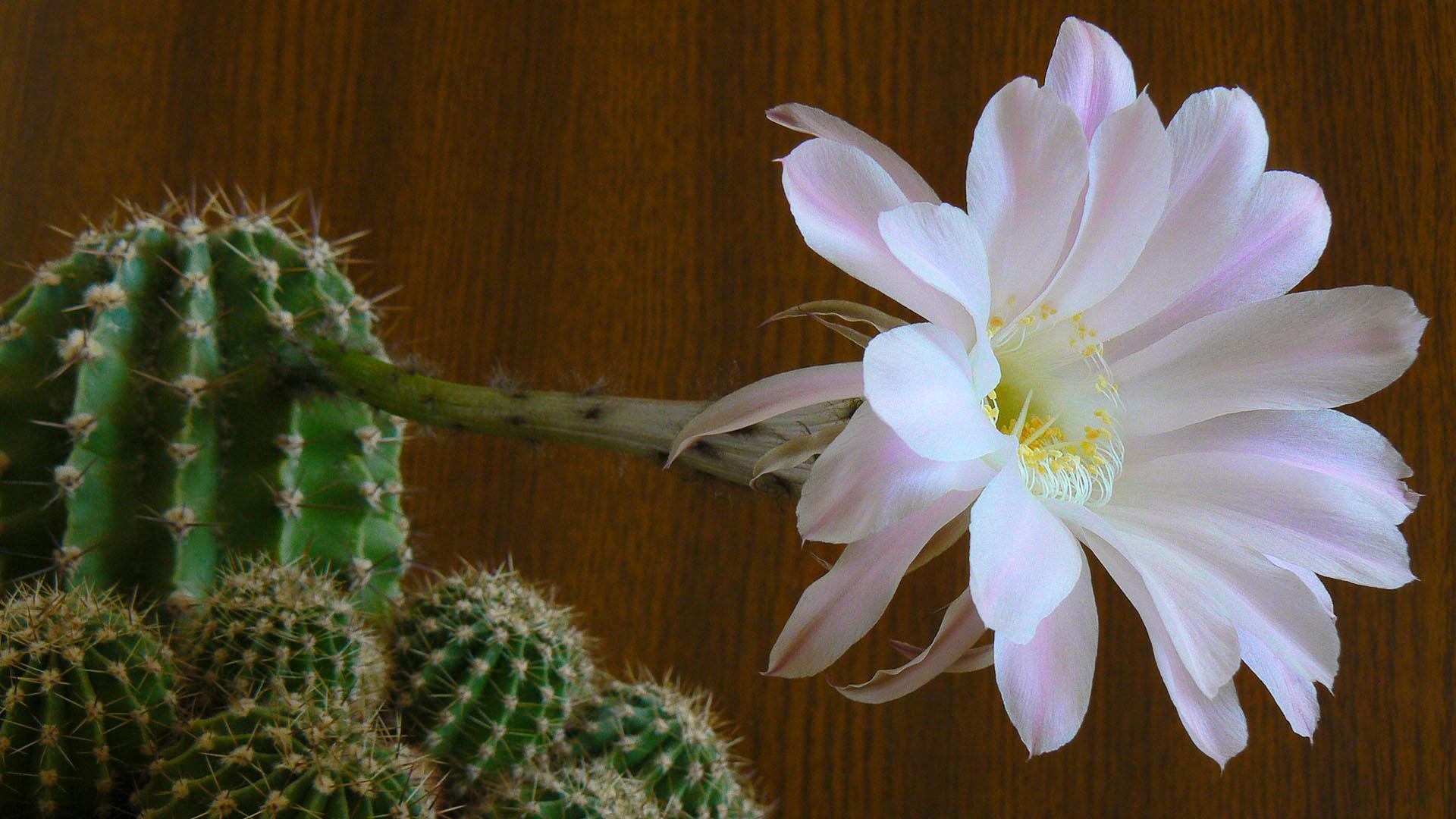 без ограничений фото цветения кактусов с названиями девушка фотографии эскизы