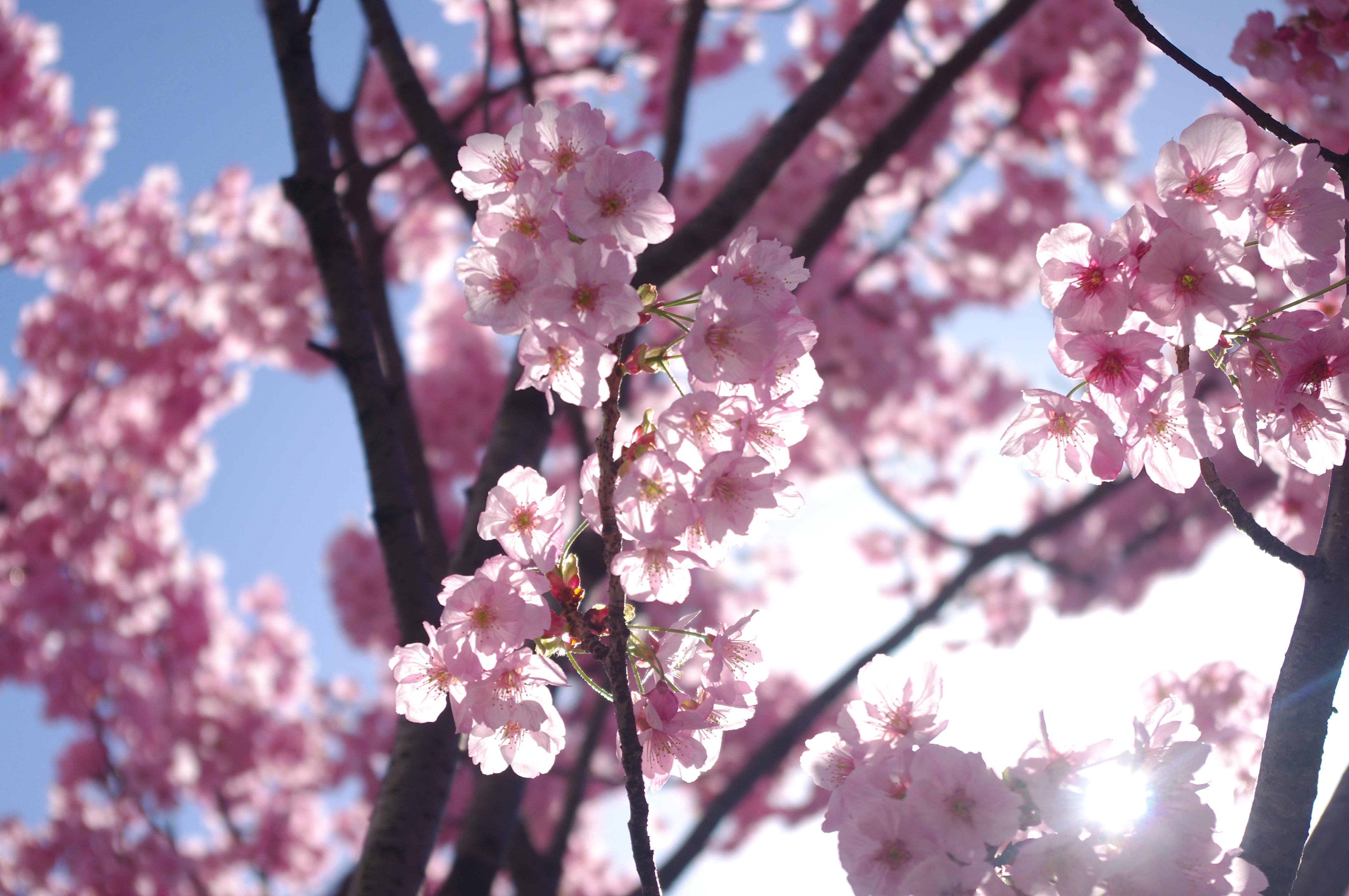 Wallpaper Mekar Berwarna Merah Muda Cabang Musim Semi Bunga