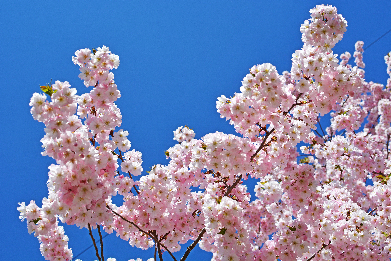 Весенние цветущие деревья фото и названия