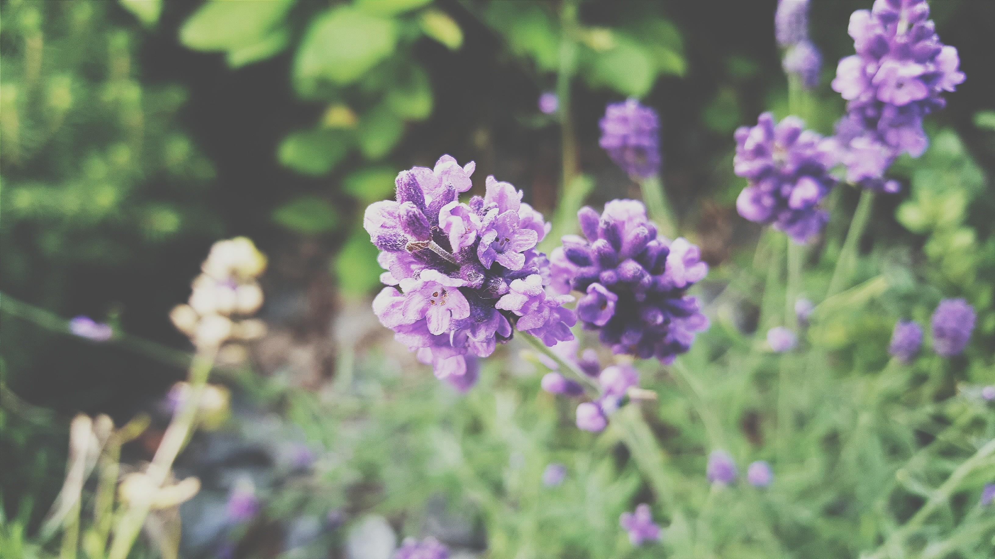 Hình nền : Hoa oải hương, Cây cỏ, thực vật, Hệ thực vật, Hoa ...