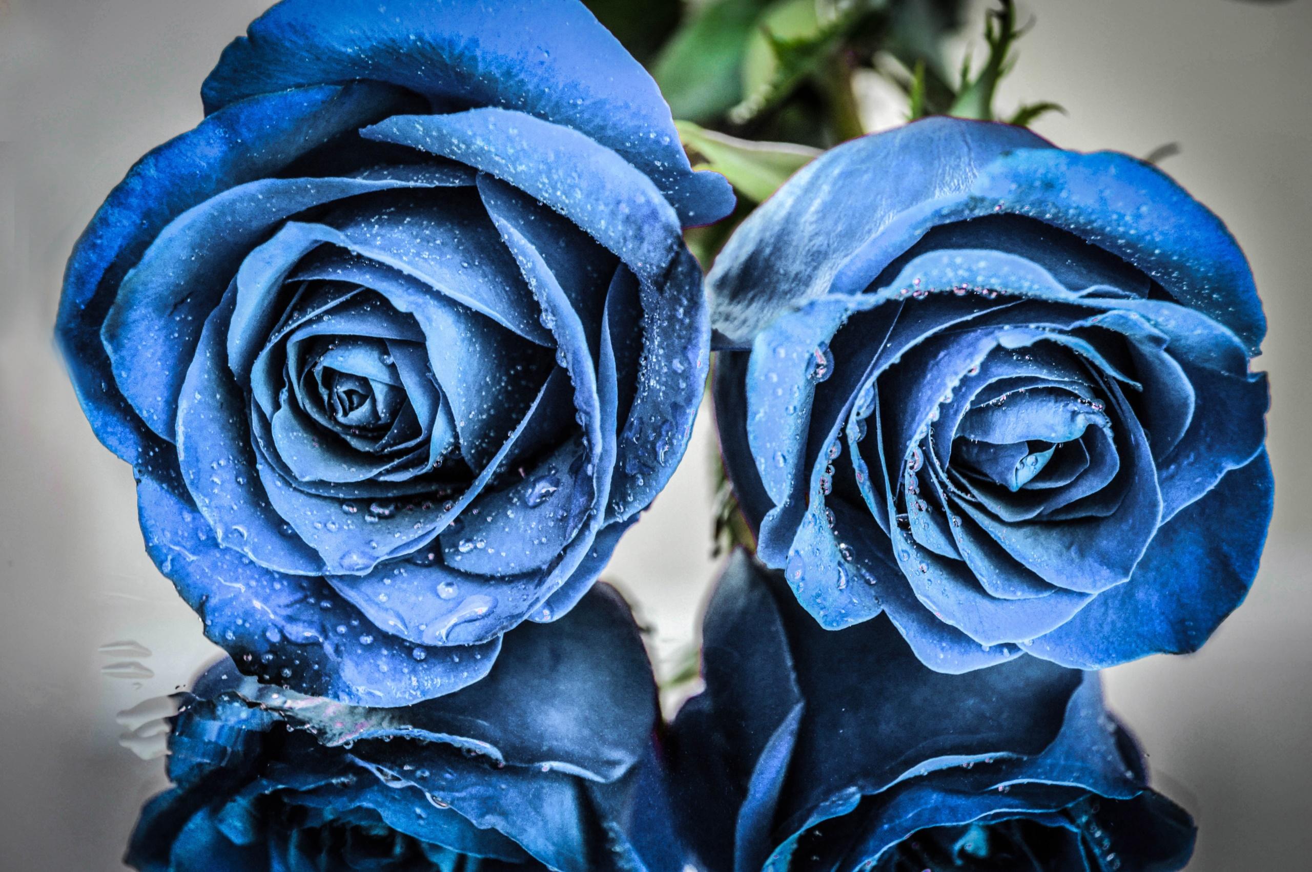 точно цветок синяя роза картинка таких