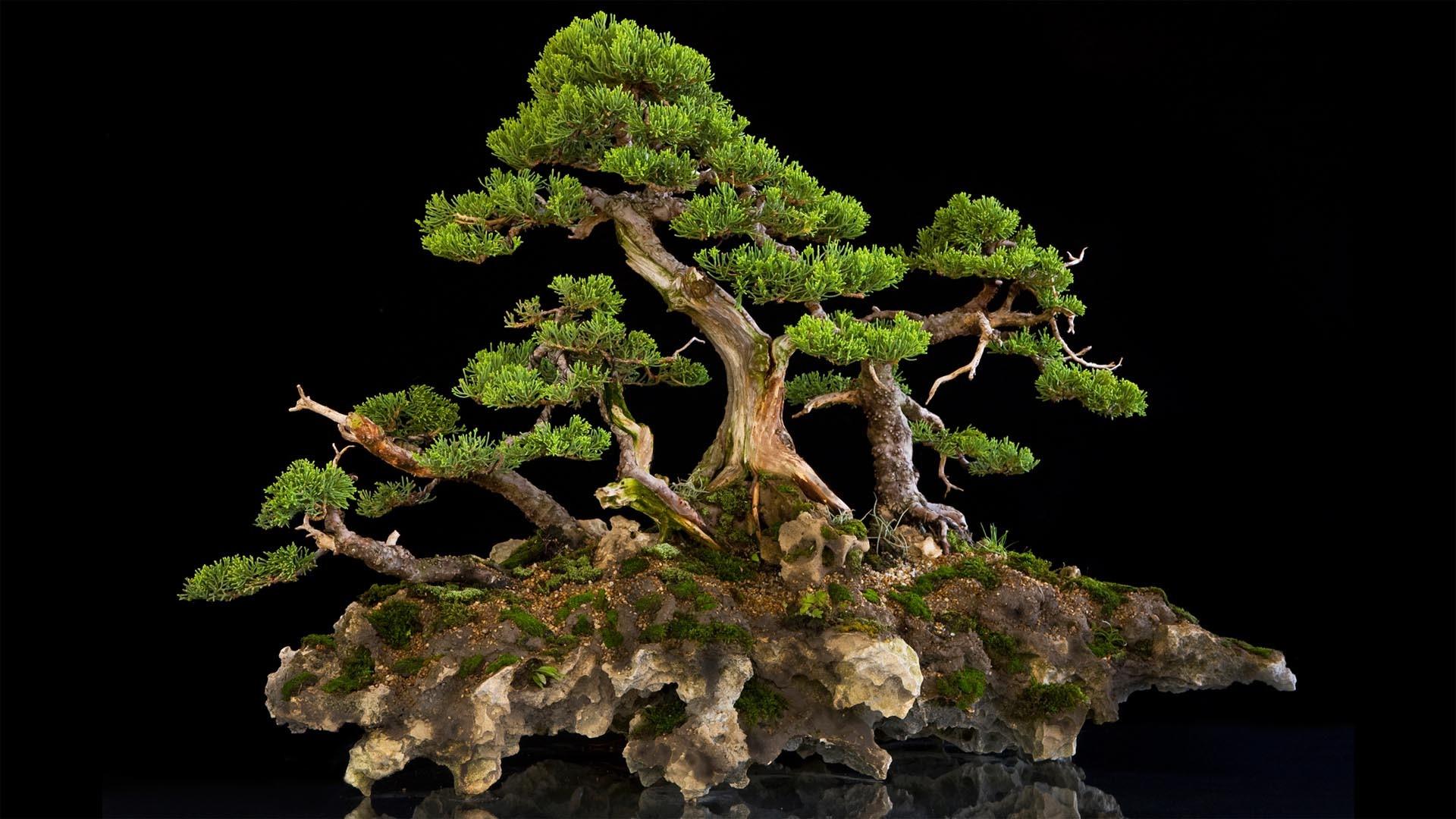 fond d 39 cran branche bonsai arbre produire plante terrestre plante bois e plante d. Black Bedroom Furniture Sets. Home Design Ideas