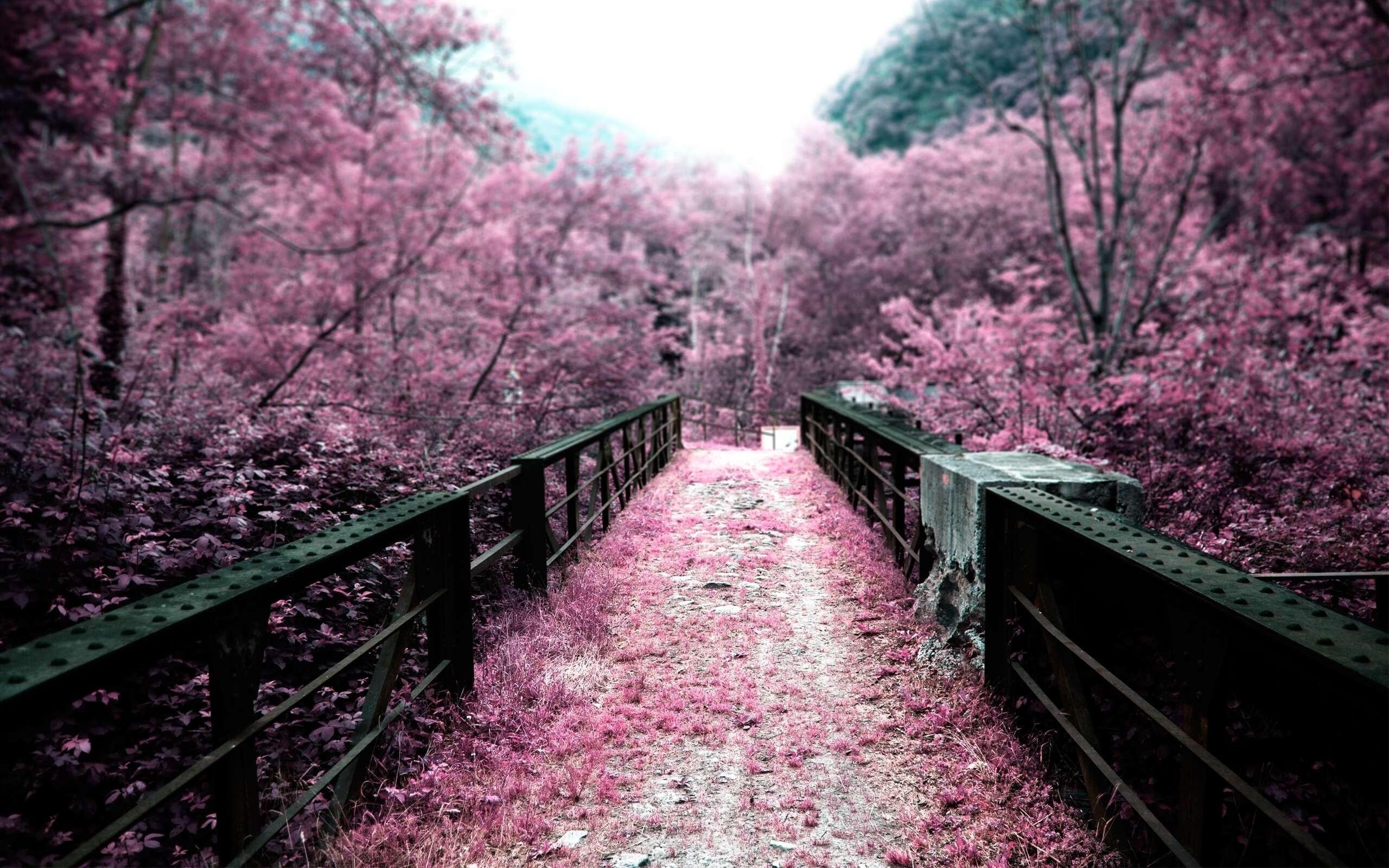 Wallpaper Cabang Jembatan Bunga Sakura Mekar Musim Semi