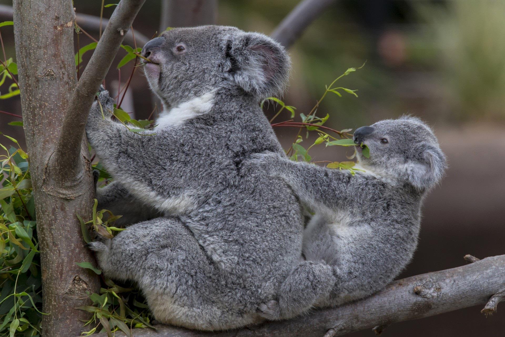 Fond D Ecran Branche Faune Bebe Couple Koalas Arbre