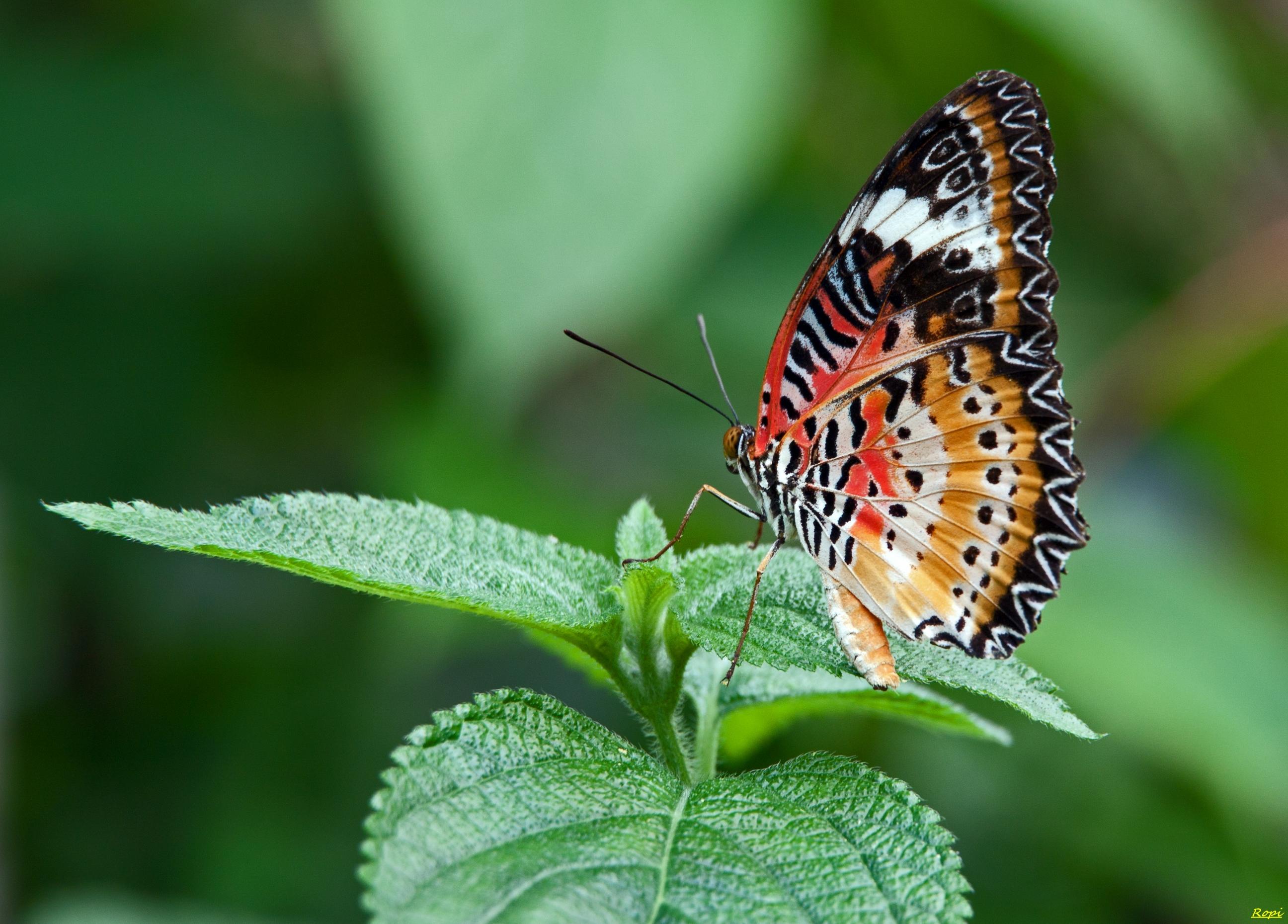壁纸 昆虫 Lycaenid 飞蛾和蝴蝶 刷脚蝶 无脊椎动物 传粉者 微距