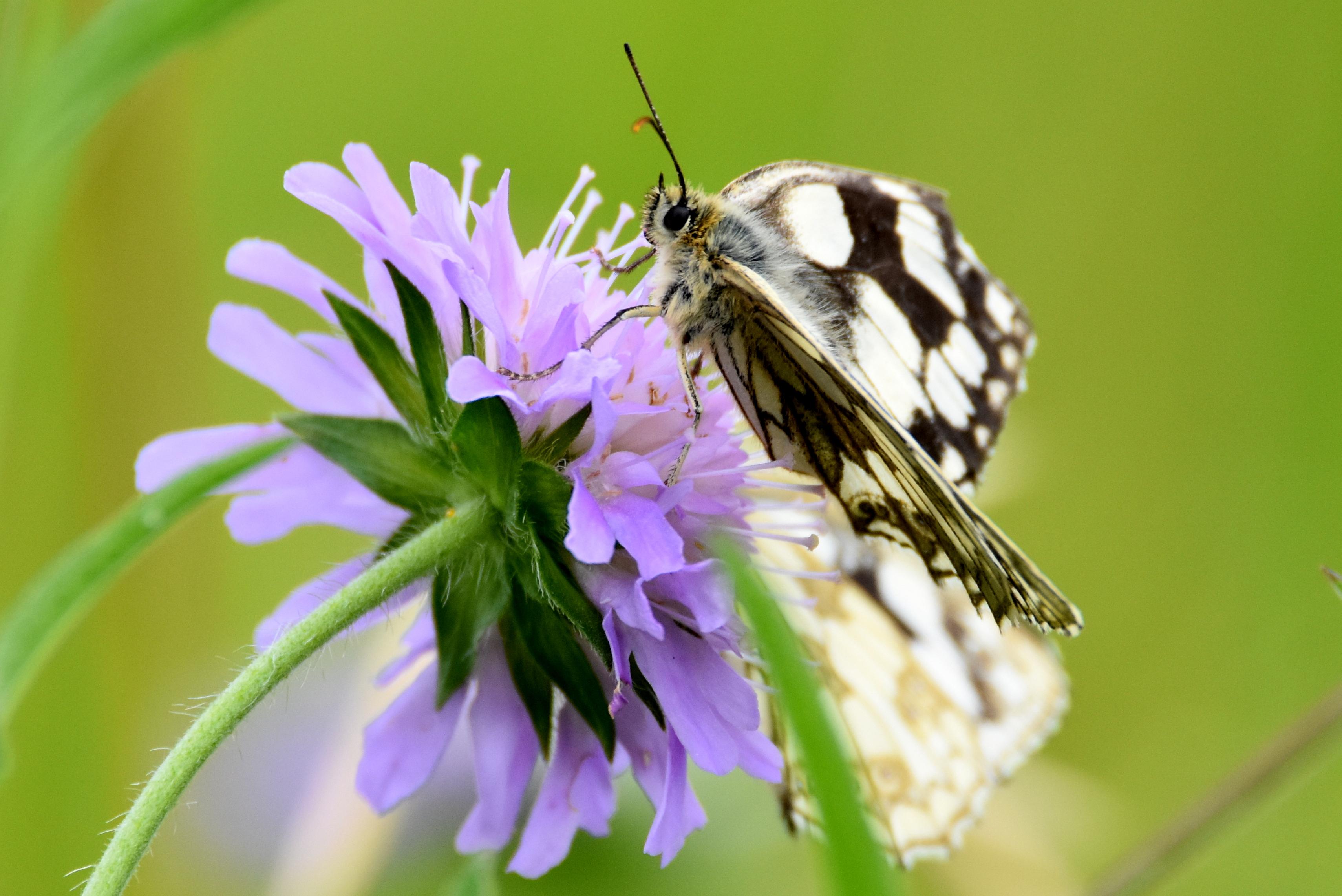 Wallpaper butterfly insect marbledwhites closeup beauty butterfly insect marbledwhites closeup beauty nature wildlife animals flower purple white kent bokeh izmirmasajfo