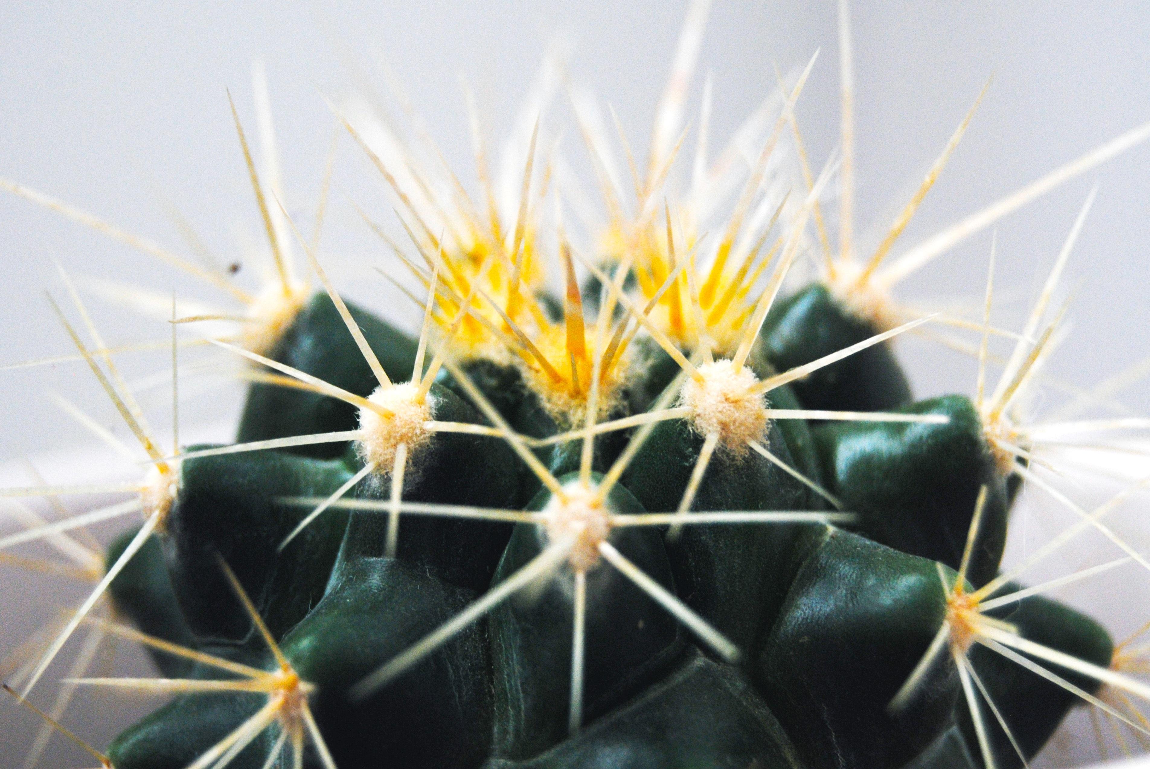 Wallpaper Cactus Thorns Succulent 3809x2550 Goodfon 1188270
