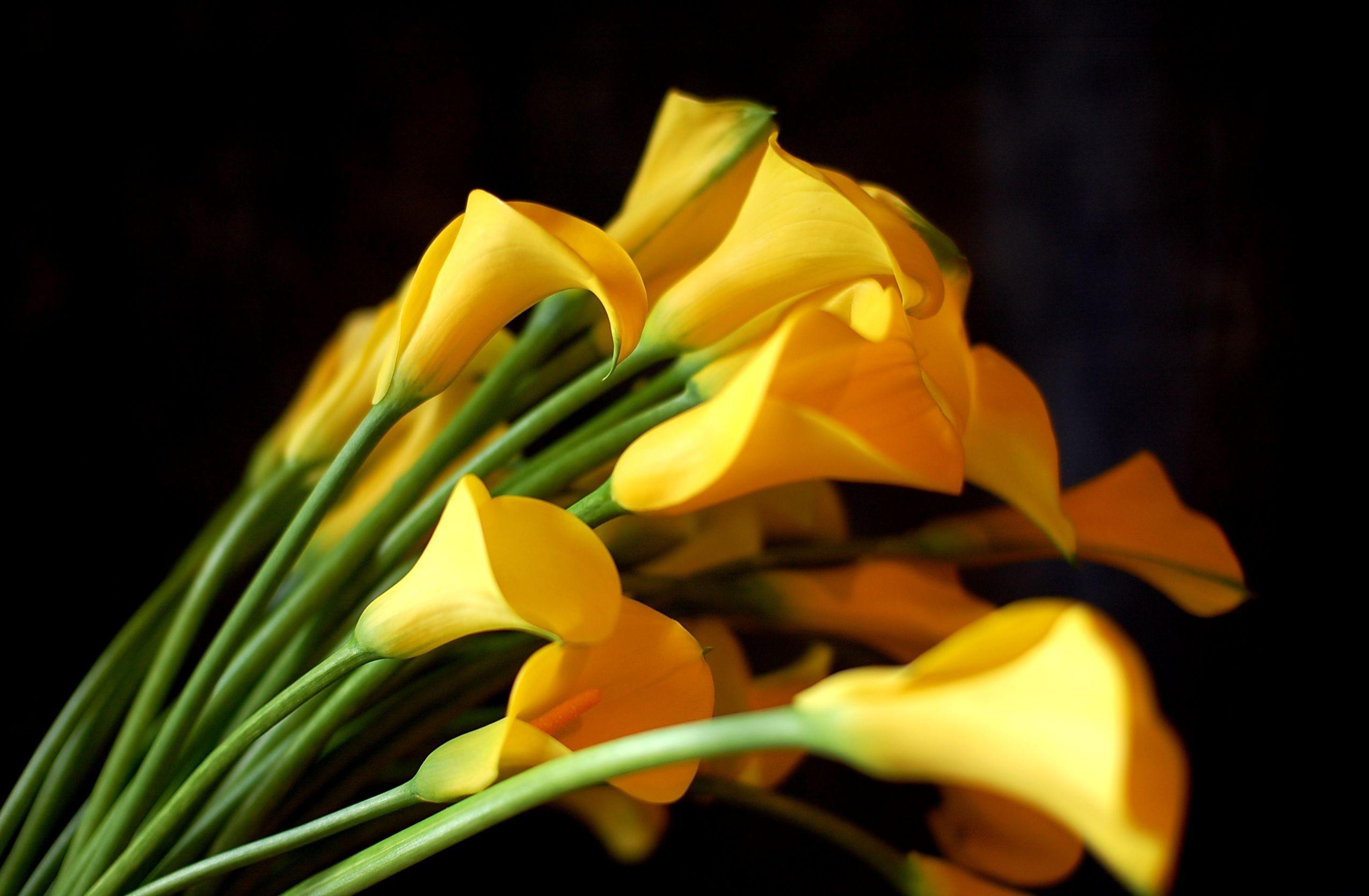 Wallpaper calla lilies flowers yellow bouquet black background calla lilies flowers yellow bouquet black background sharpness izmirmasajfo