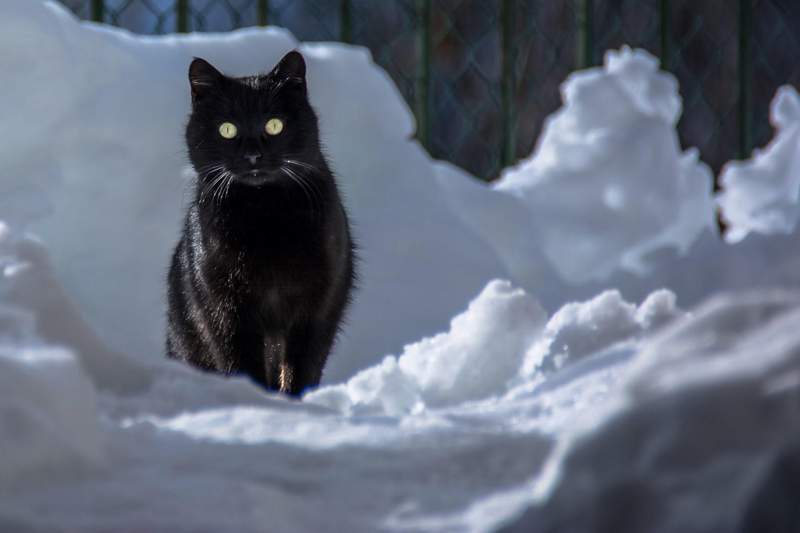 Sfondi gatto neve
