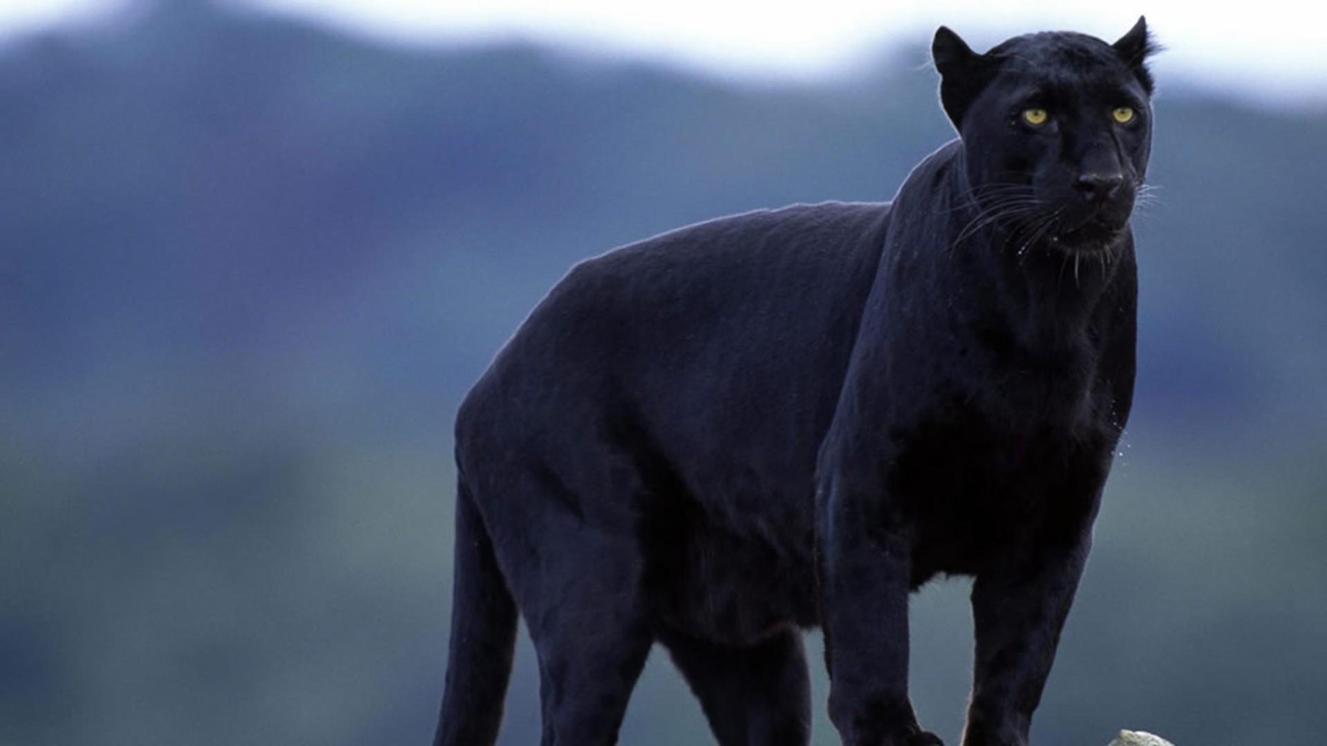 Fondos De Pantalla : Gato, Animales, Gatos Grandes