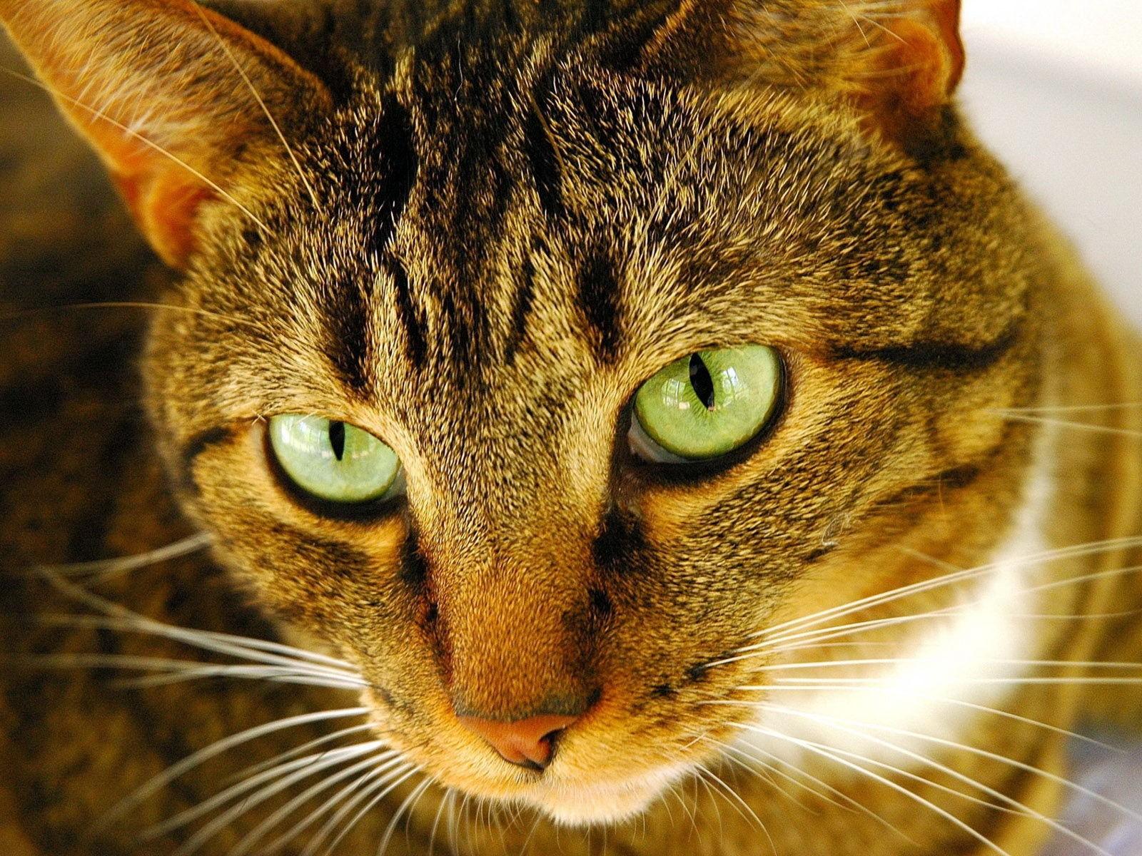 90 Gambar Binatang Kucing Garong Gratis