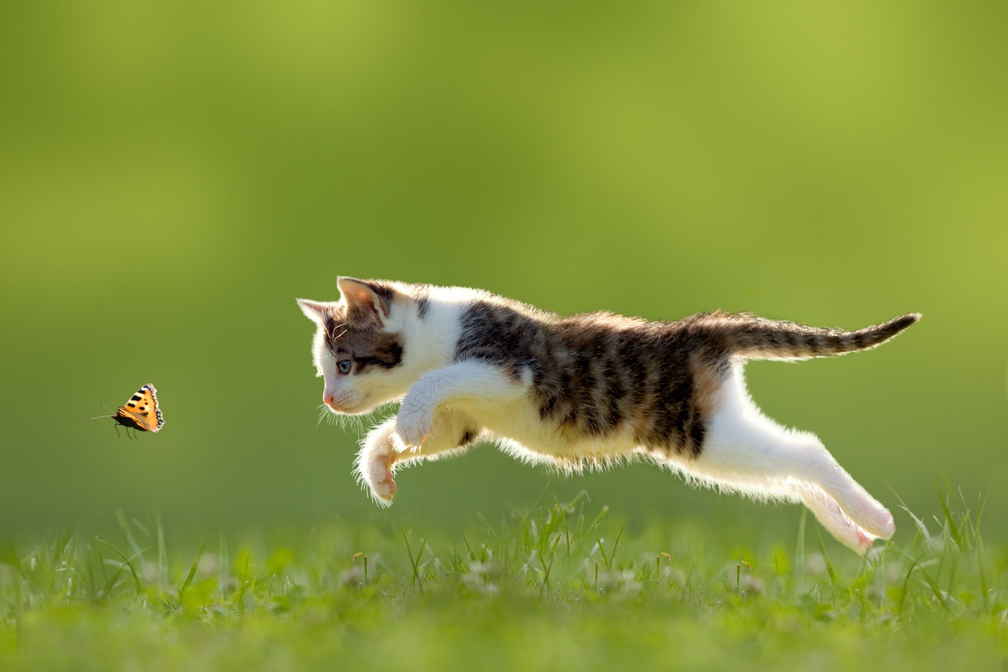 Best Wallpaper Cat Butterfly - cat-animals-depth-of-field-nature-grass-butterfly-kittens-baby-animals-whiskers-running-wild-cat-fauna-mammal-vertebrate-cat-like-mammal-macro-photography-small-to-medium-sized-cats-162942  2018_194758 .jpg