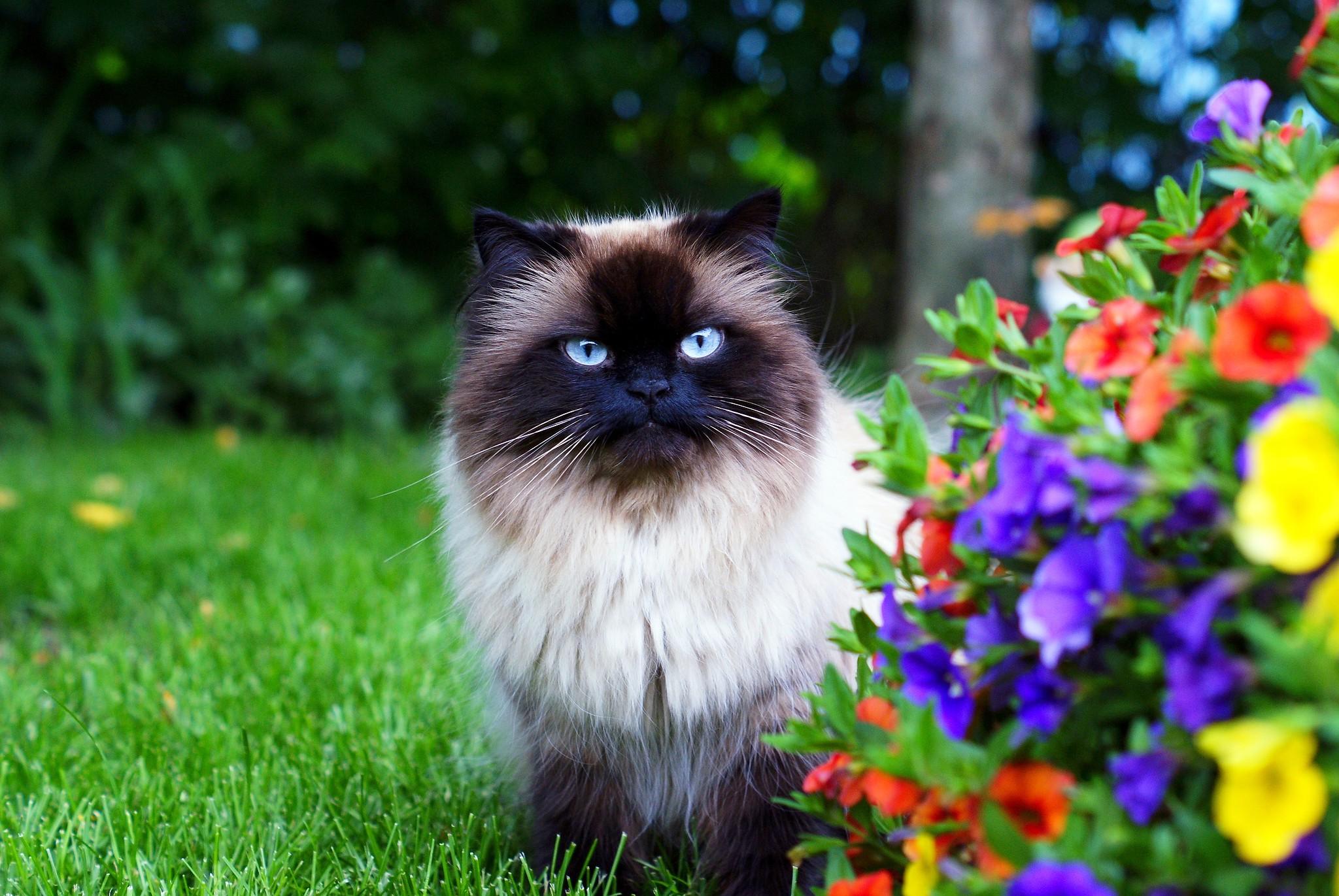 Обои цветы, Кошка. Кошки foto 17
