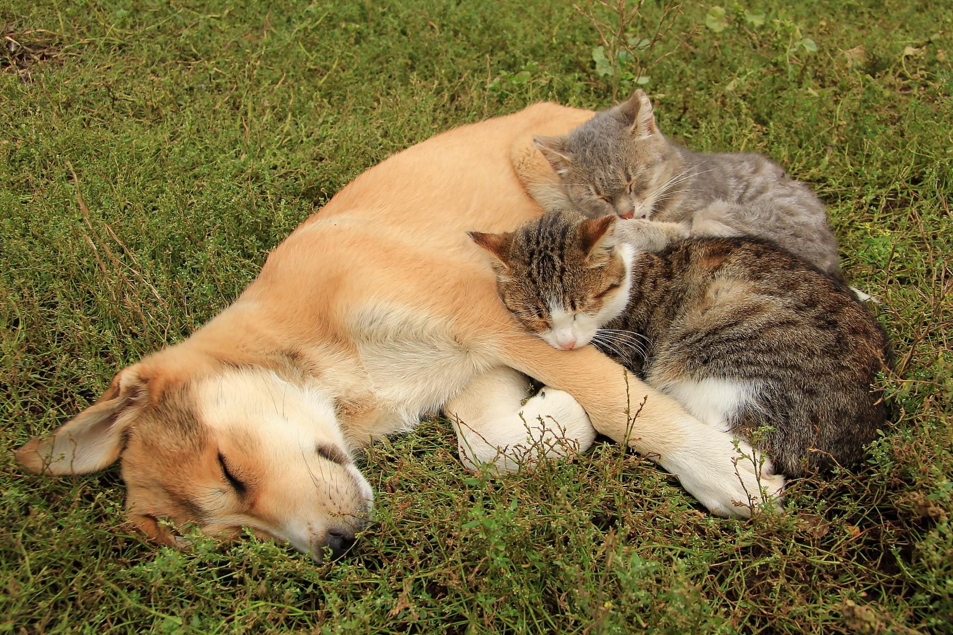 Cat Animals Grass Dog Cats Mammal 1920x1280 Px Vertebrate Like