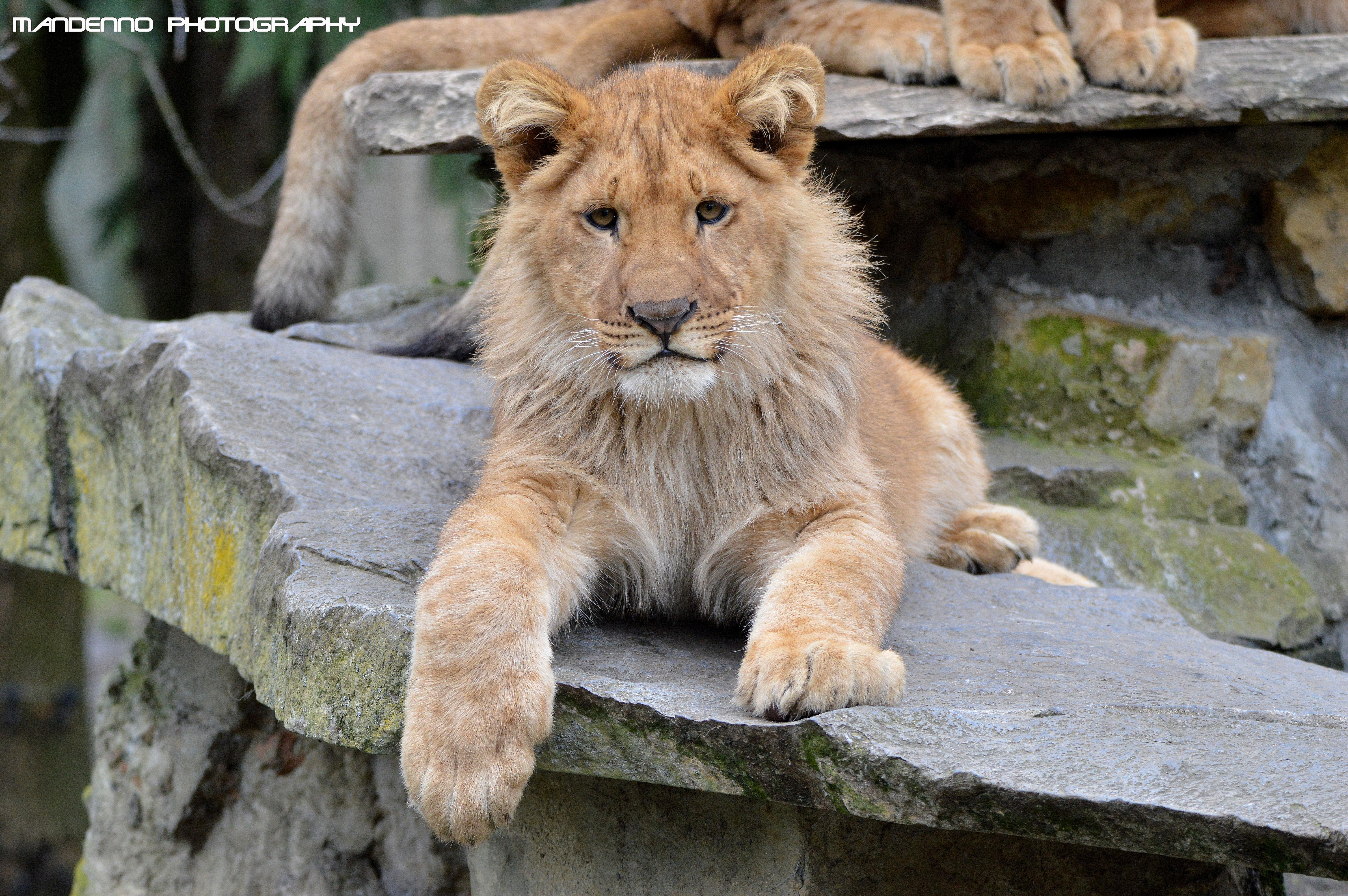 Wallpaper Animals Wildlife Fur Big Cats Zoo Whiskers