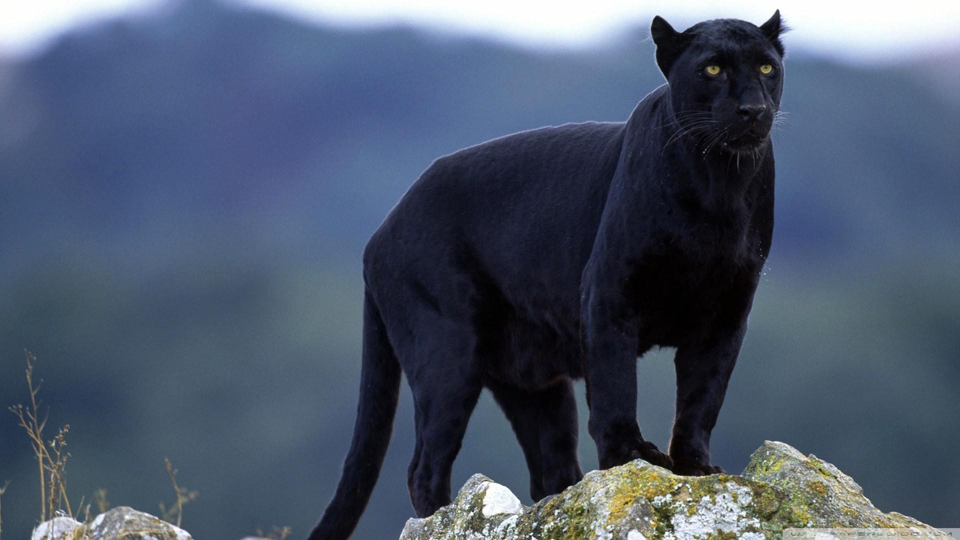 puma negra