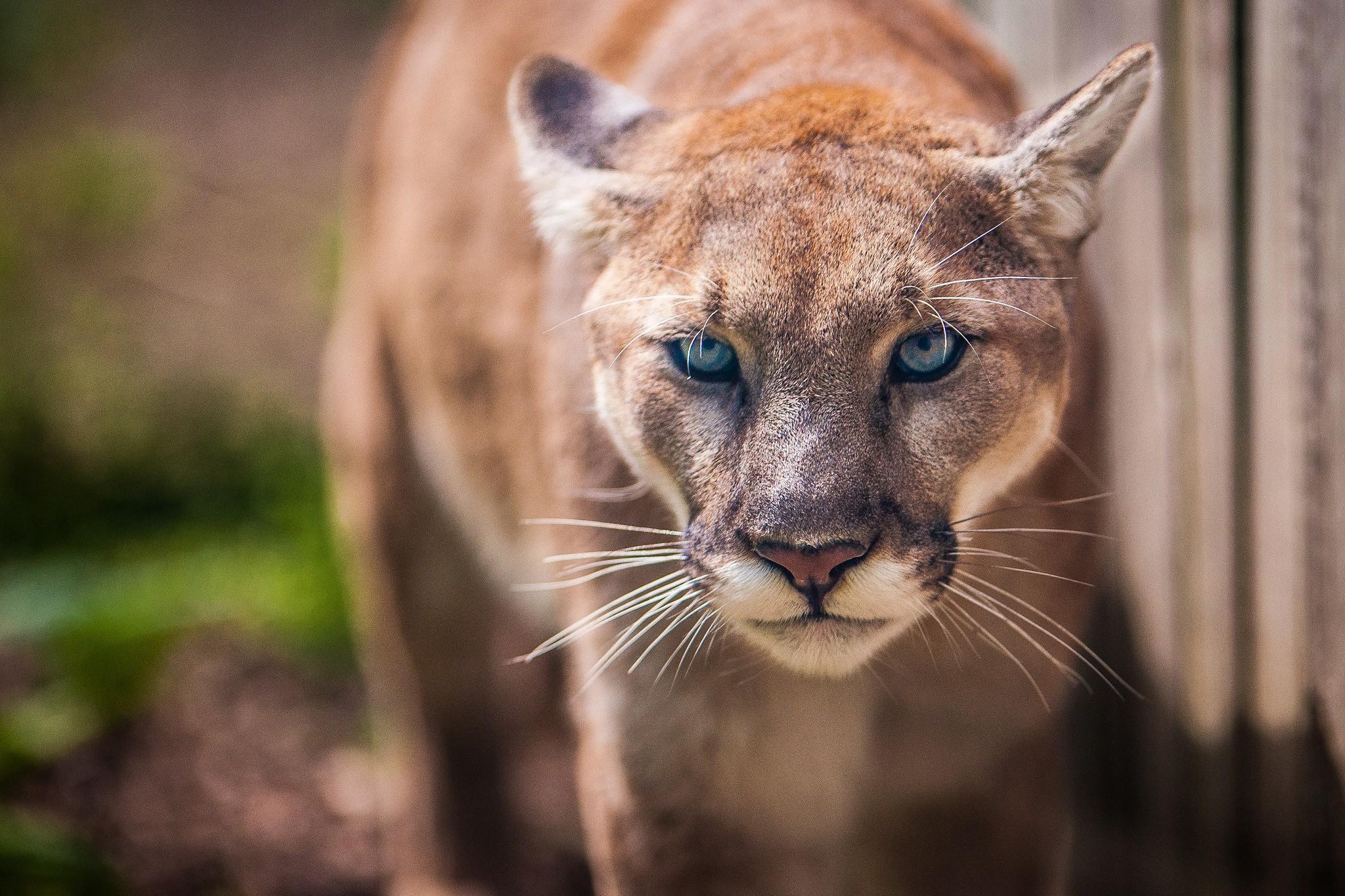 wallpaper : animals, wildlife, whiskers, puma, mammals, cougar, wild