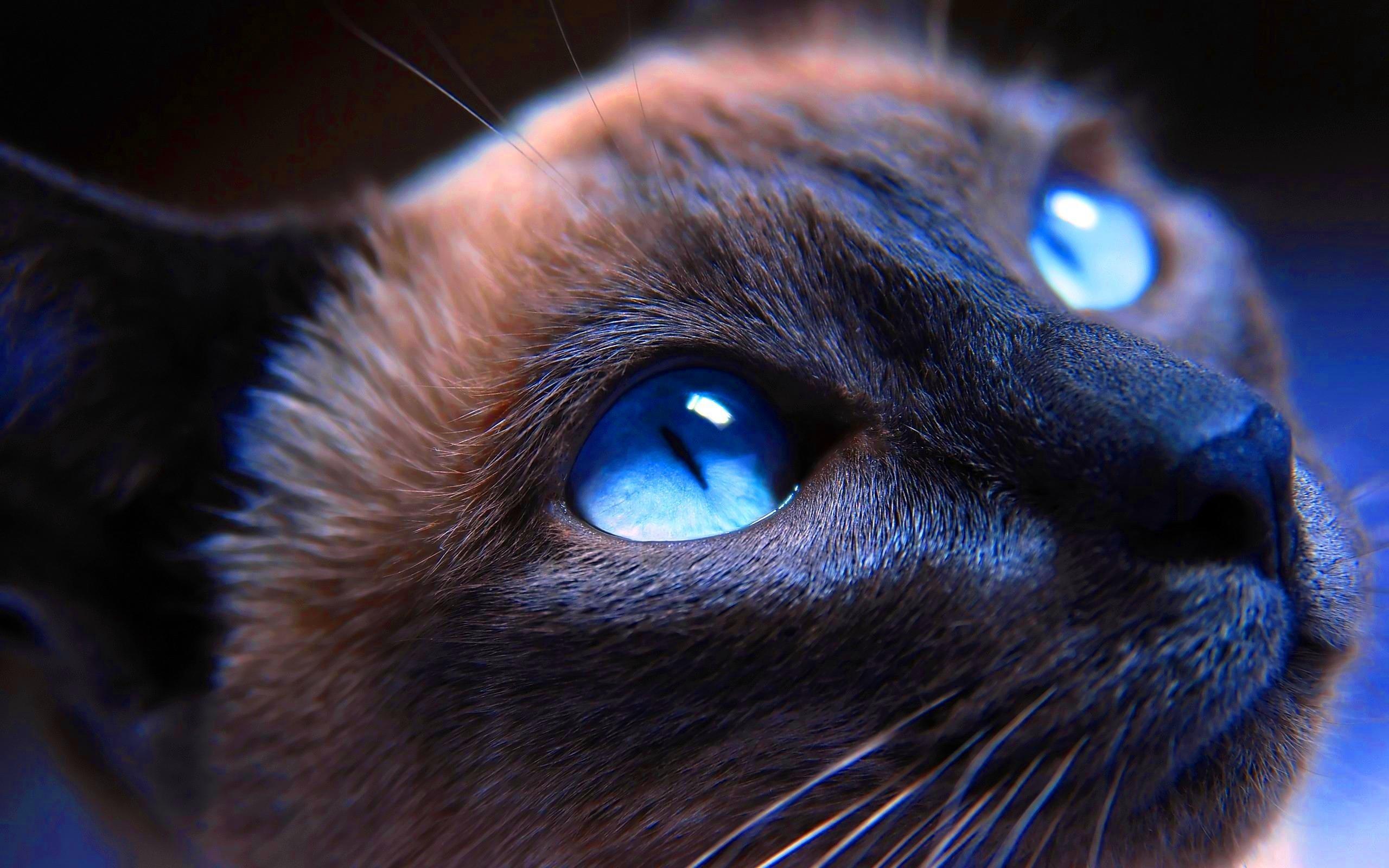 Fond d\u0027écran  chat, bleu, nez, moustaches, Chat noir, œil, chaton,  vertébré, corps humain, organe, fermer, Chat comme un mammifère,  Photographie macro,