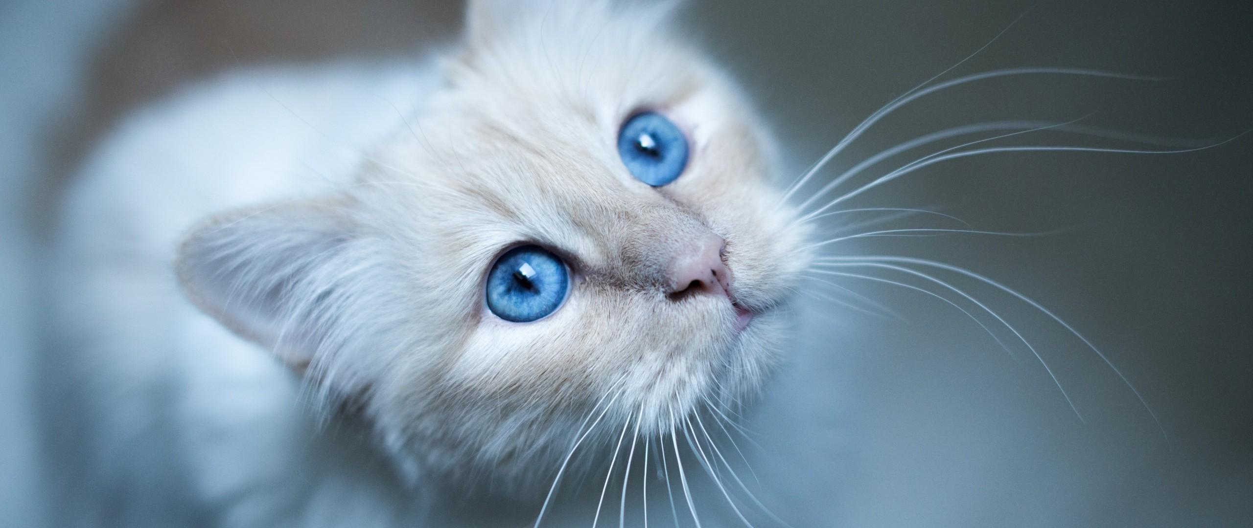 デスクトップ壁紙 ネコ 青 鼻 ウィスカー 肌 眼 子猫 哺乳類